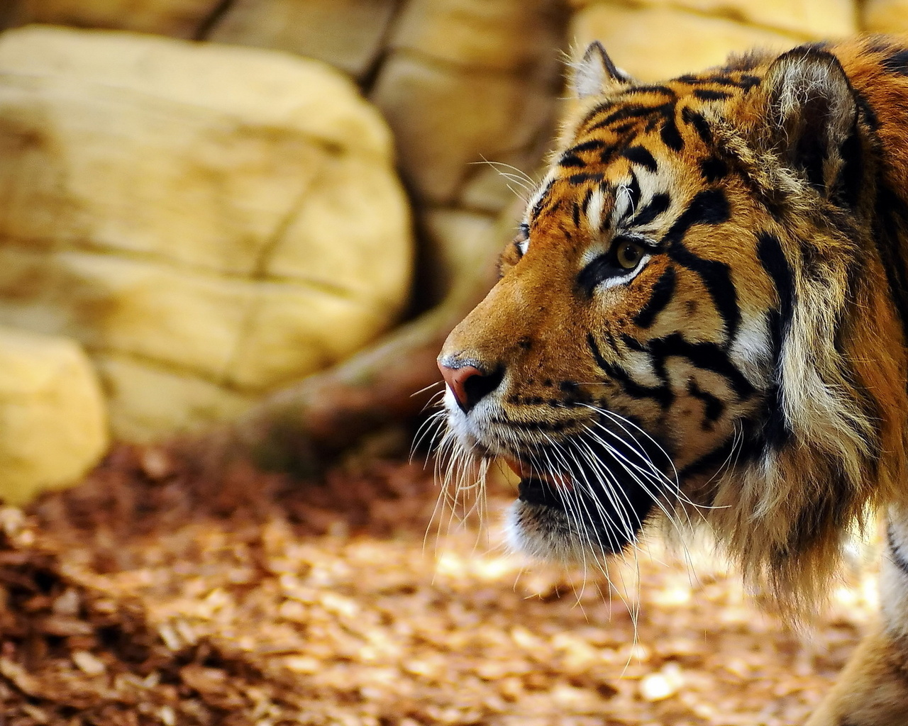 48824 descargar fondo de pantalla Animales, Tigres: protectores de pantalla e imágenes gratis