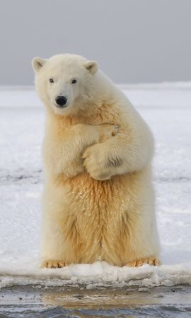123794 Screensavers and Wallpapers Funny for phone. Download Animals, Polar Bear, Bear, Funny, Ice, Snow pictures for free