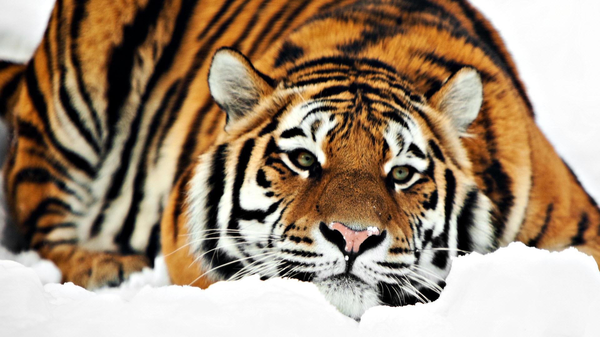 33642 descargar fondo de pantalla Animales, Tigres: protectores de pantalla e imágenes gratis
