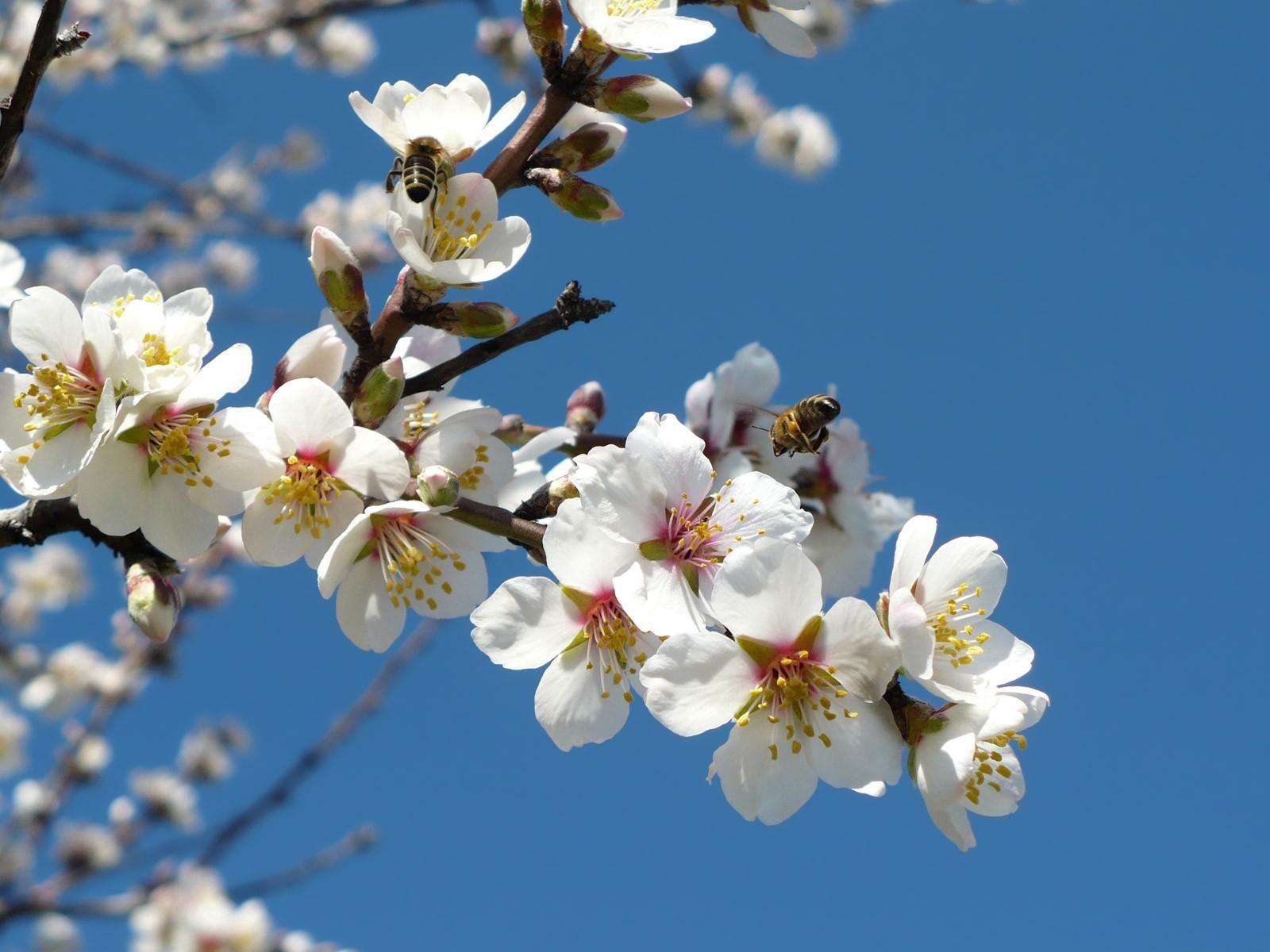 55081 Hintergrundbild herunterladen Blumen, Sky, Bienen, Geäst, Zweige, Blühen, Blühenden, Frühling, Bestäubung - Bildschirmschoner und Bilder kostenlos