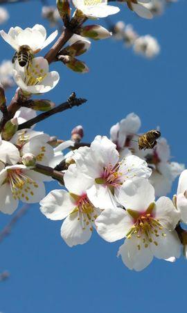 55081 télécharger le fond d'écran Fleurs, Floraison, Branches, Printemps, Source, Sky, Pollinisation, Abeilles - économiseurs d'écran et images gratuitement