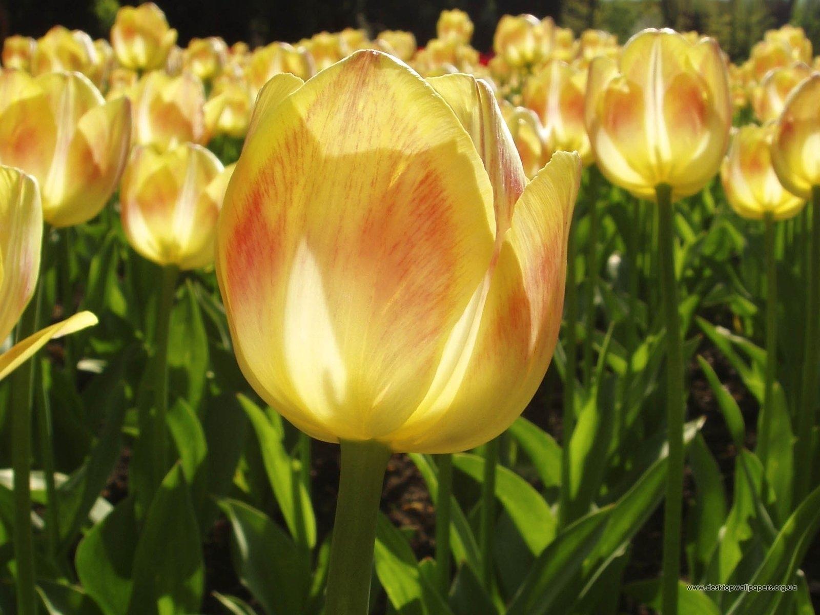 5547 скачать обои Растения, Цветы, Тюльпаны - заставки и картинки бесплатно