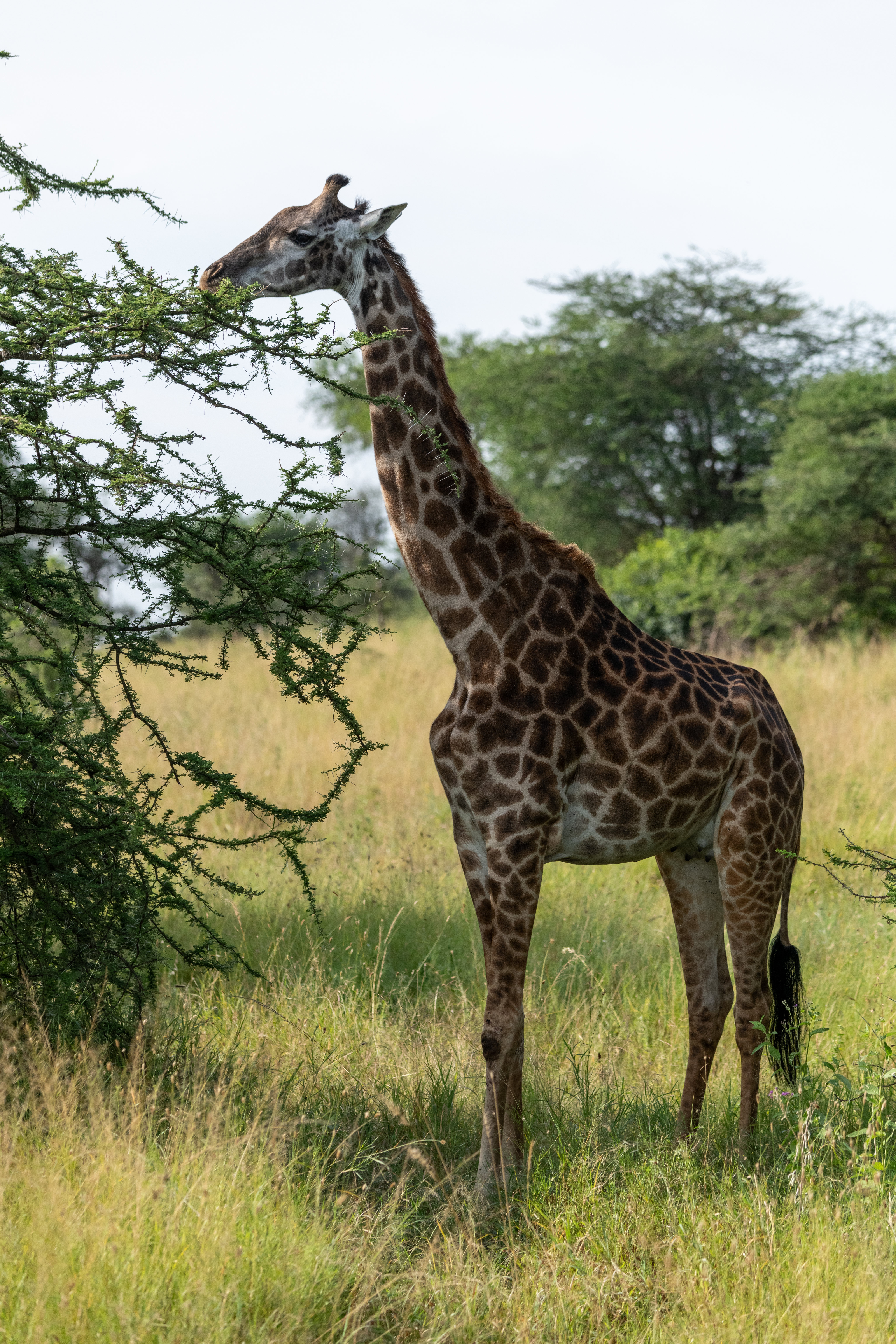 136568 免費下載壁紙 动物, 长颈鹿, 稀树草原, 树 屏保和圖片