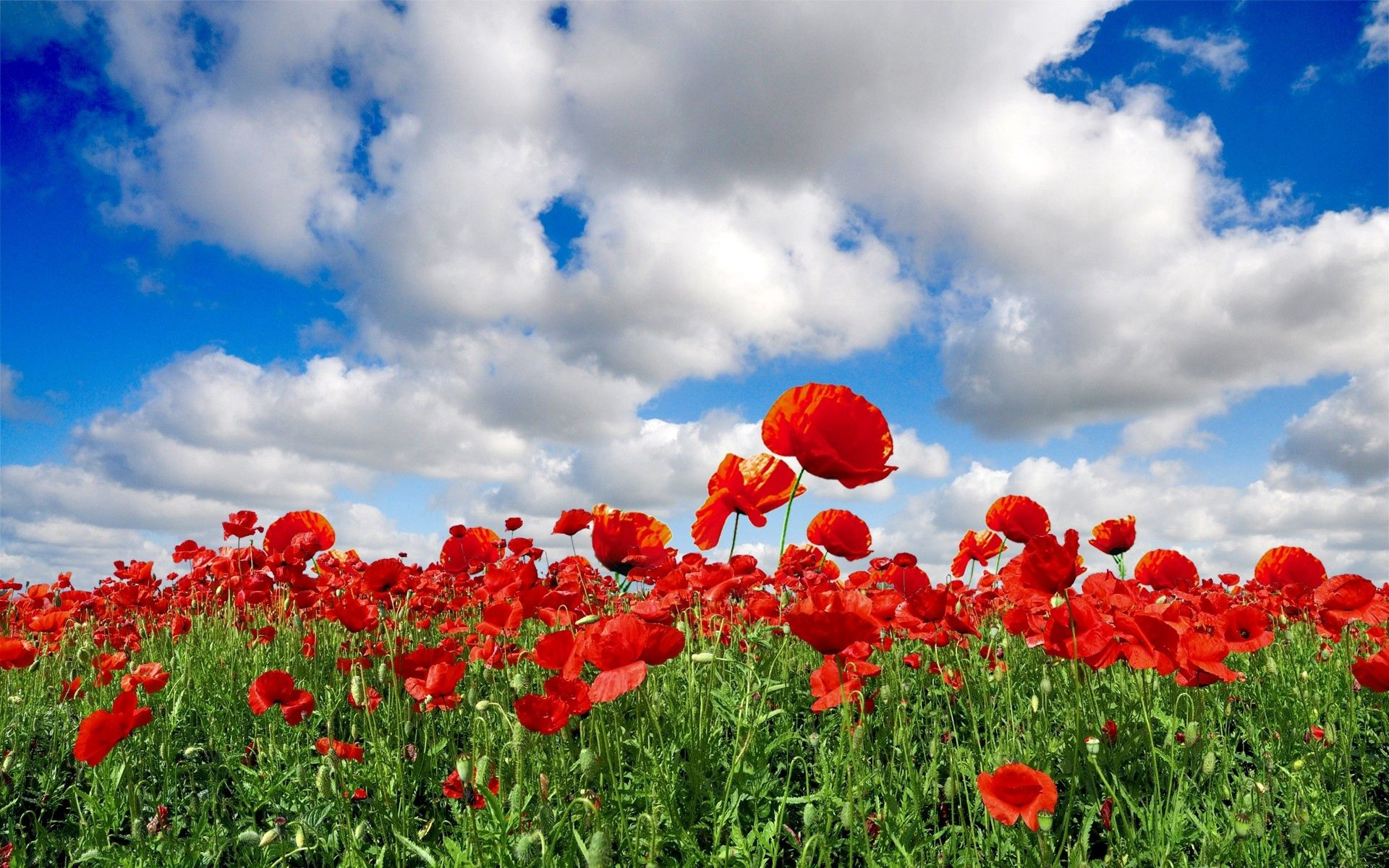 125422 Screensavers and Wallpapers Poppies for phone. Download Flowers, Sky, Poppies, Clouds, Summer, Greens, Field pictures for free
