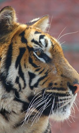 156217 download wallpaper Animals, Tiger, Muzzle, Nose, Predator screensavers and pictures for free
