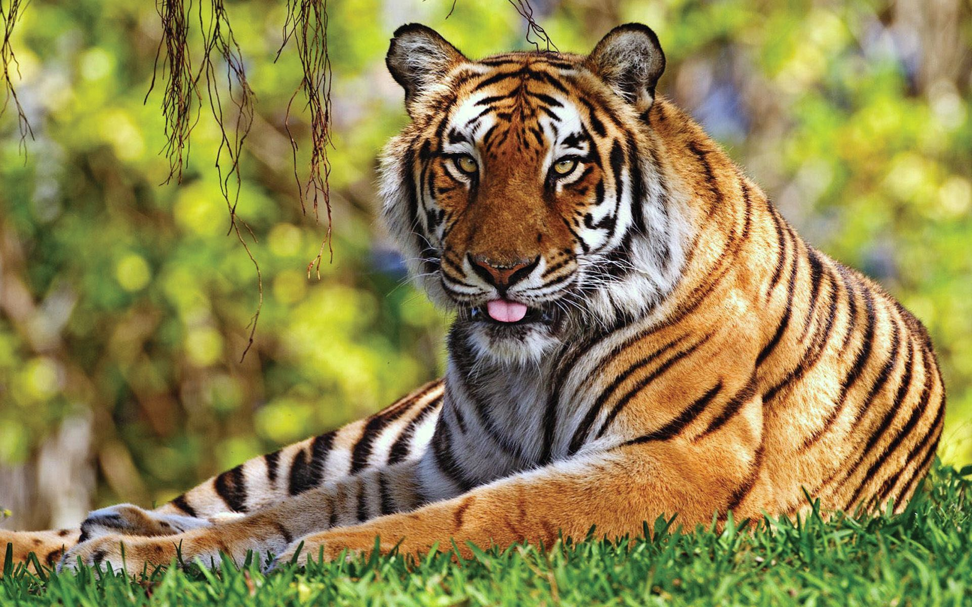 139683 download wallpaper Animals, Tiger, Grass, To Lie Down, Lie, Relaxation, Rest, Predator screensavers and pictures for free