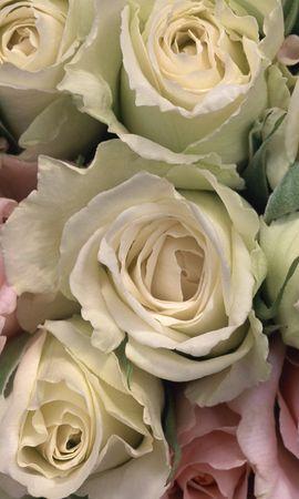 12159 descargar fondo de pantalla Plantas, Fondo, Roses: protectores de pantalla e imágenes gratis
