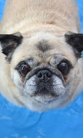 113163 download wallpaper Animals, Pug, Dog, Funny, Muzzle screensavers and pictures for free