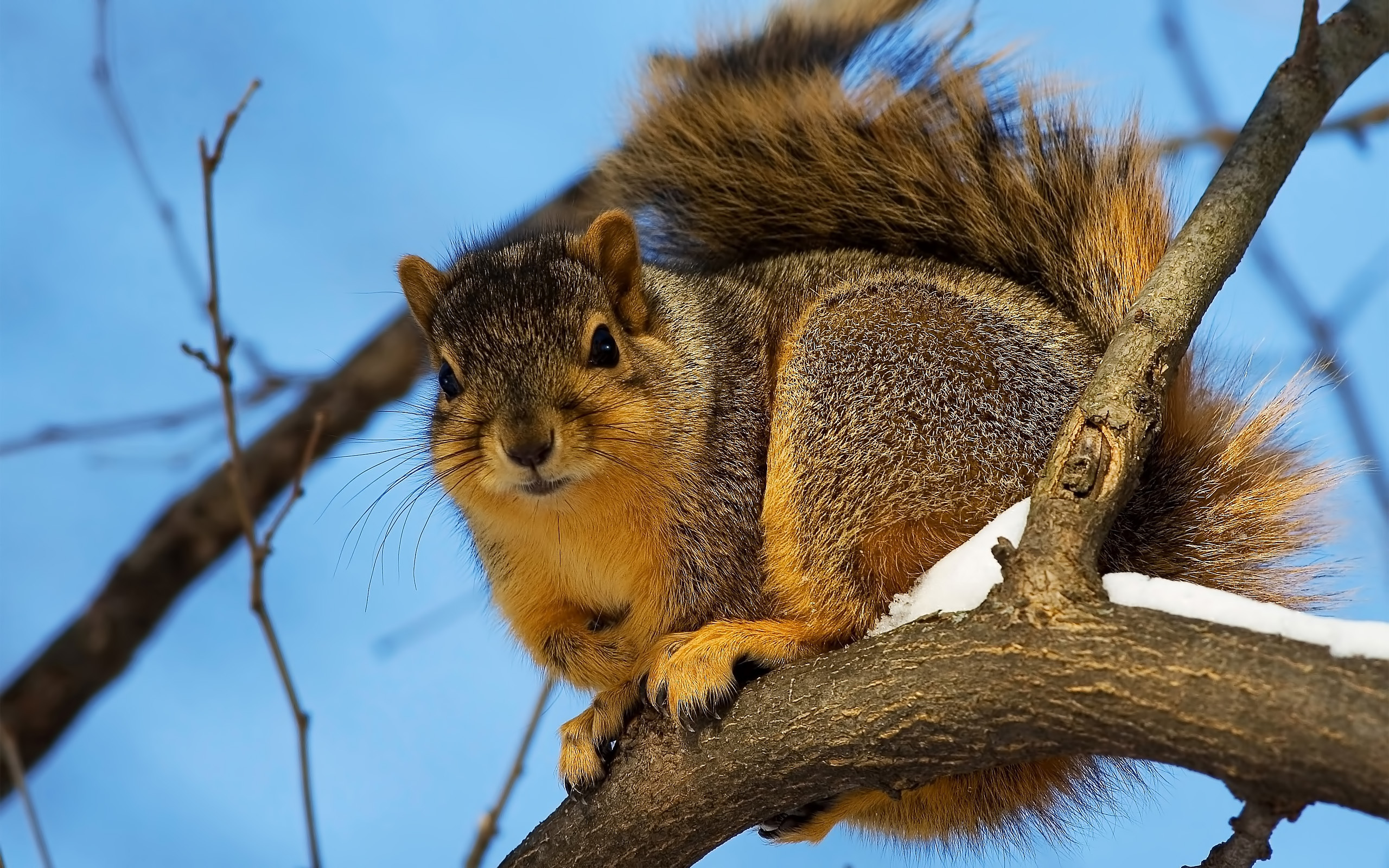 35667 download wallpaper Animals, Squirrel screensavers and pictures for free