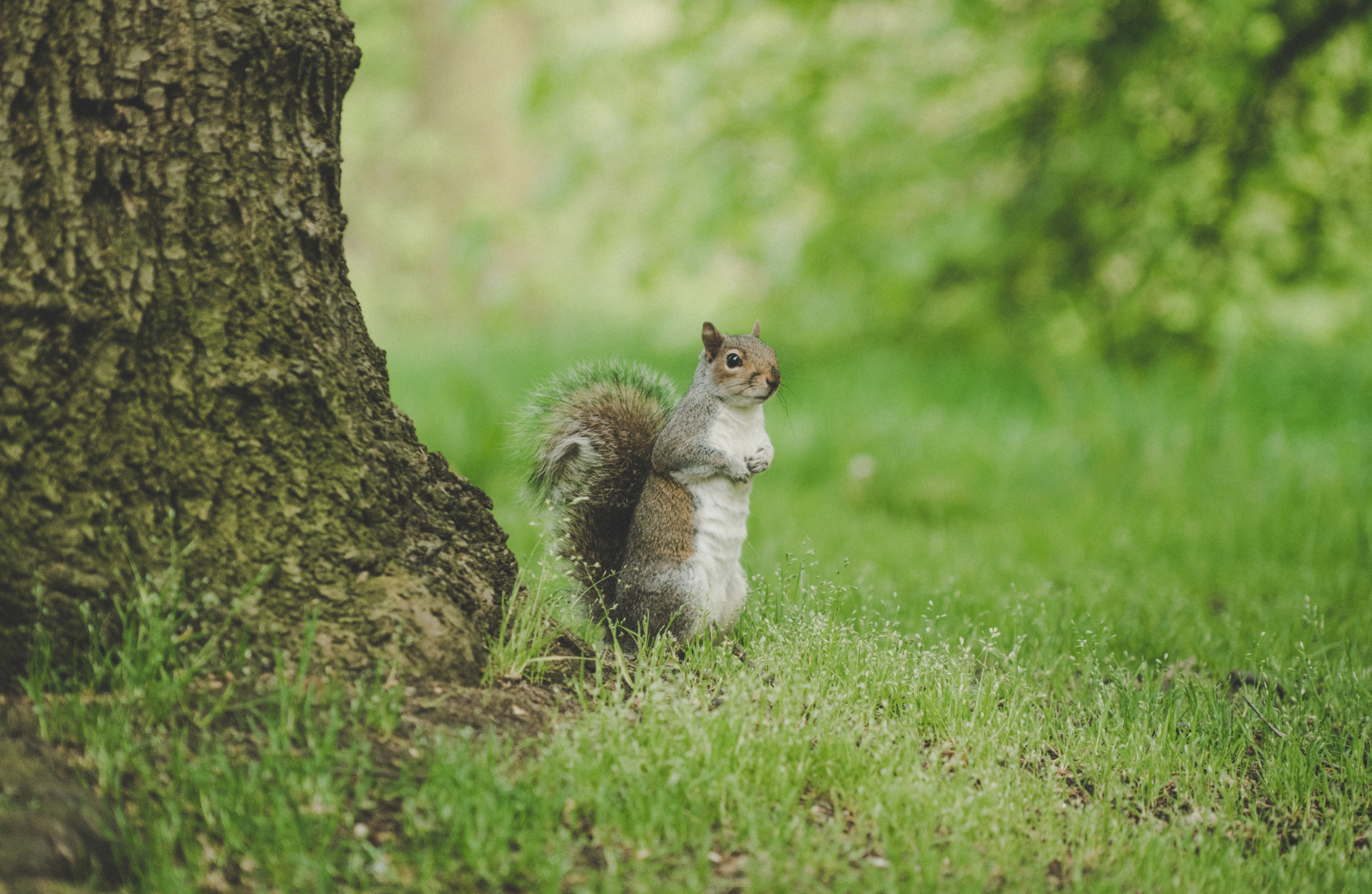 111440 download wallpaper Animals, Squirrel, Curious, Standing, Grass, Wildlife screensavers and pictures for free