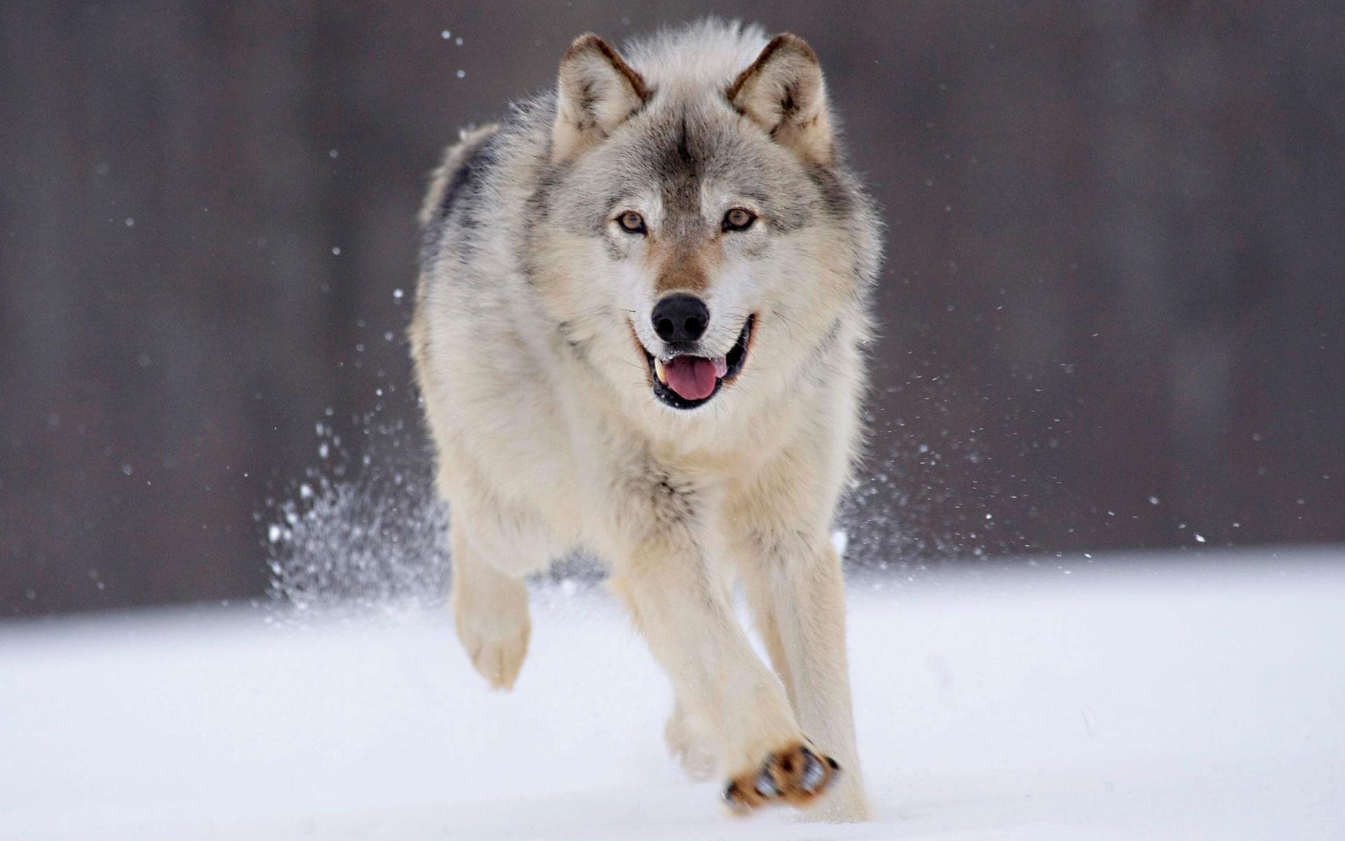 34016 скачать обои Волки, Животные - заставки и картинки бесплатно