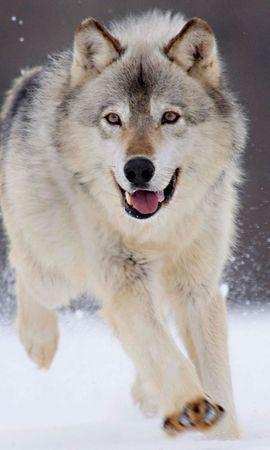 34016 baixar papel de parede Animais, Lobos - protetores de tela e imagens gratuitamente
