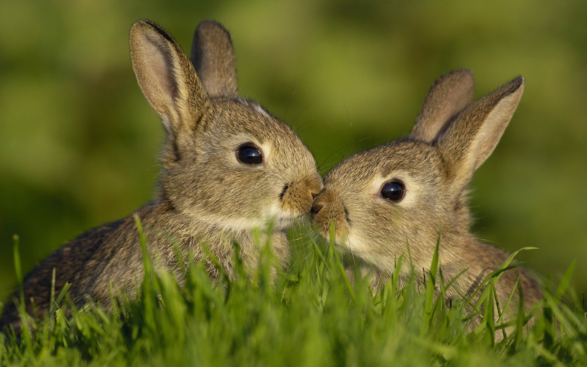47743 download wallpaper Animals, Rabbits screensavers and pictures for free