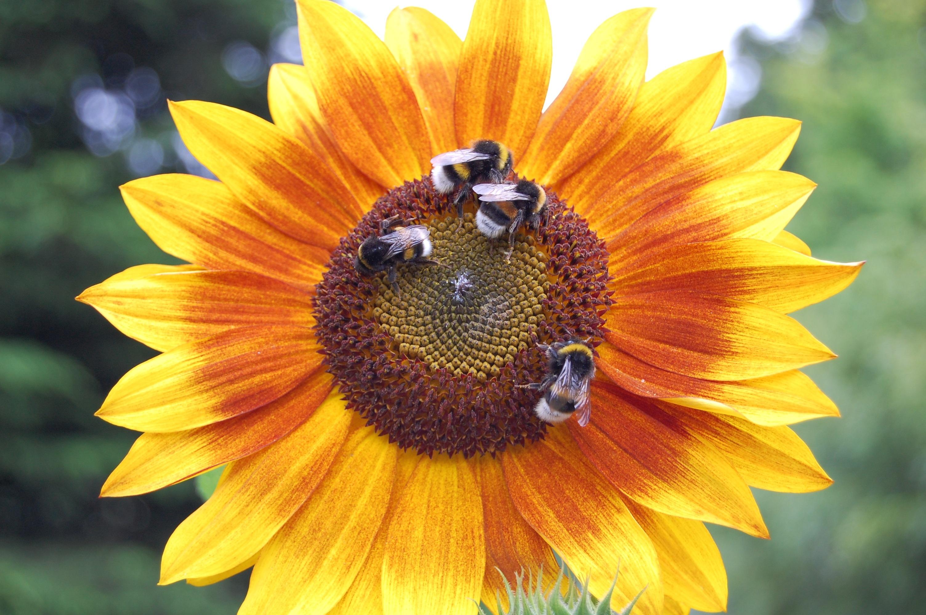 140388 скачать обои Насекомые, Цветы, Цветок, Подсолнух, Шмели - заставки и картинки бесплатно