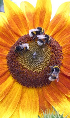 140388 Screensavers and Wallpapers Insects for phone. Download Flowers, Sunflower, Bumblebees, Flower, Insects pictures for free