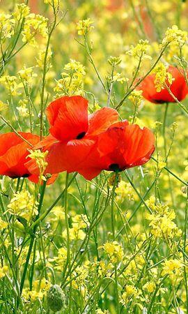 158048 скачать обои Цветы, Маки, Поляна, Лето, Зелень, Солнечно - заставки и картинки бесплатно
