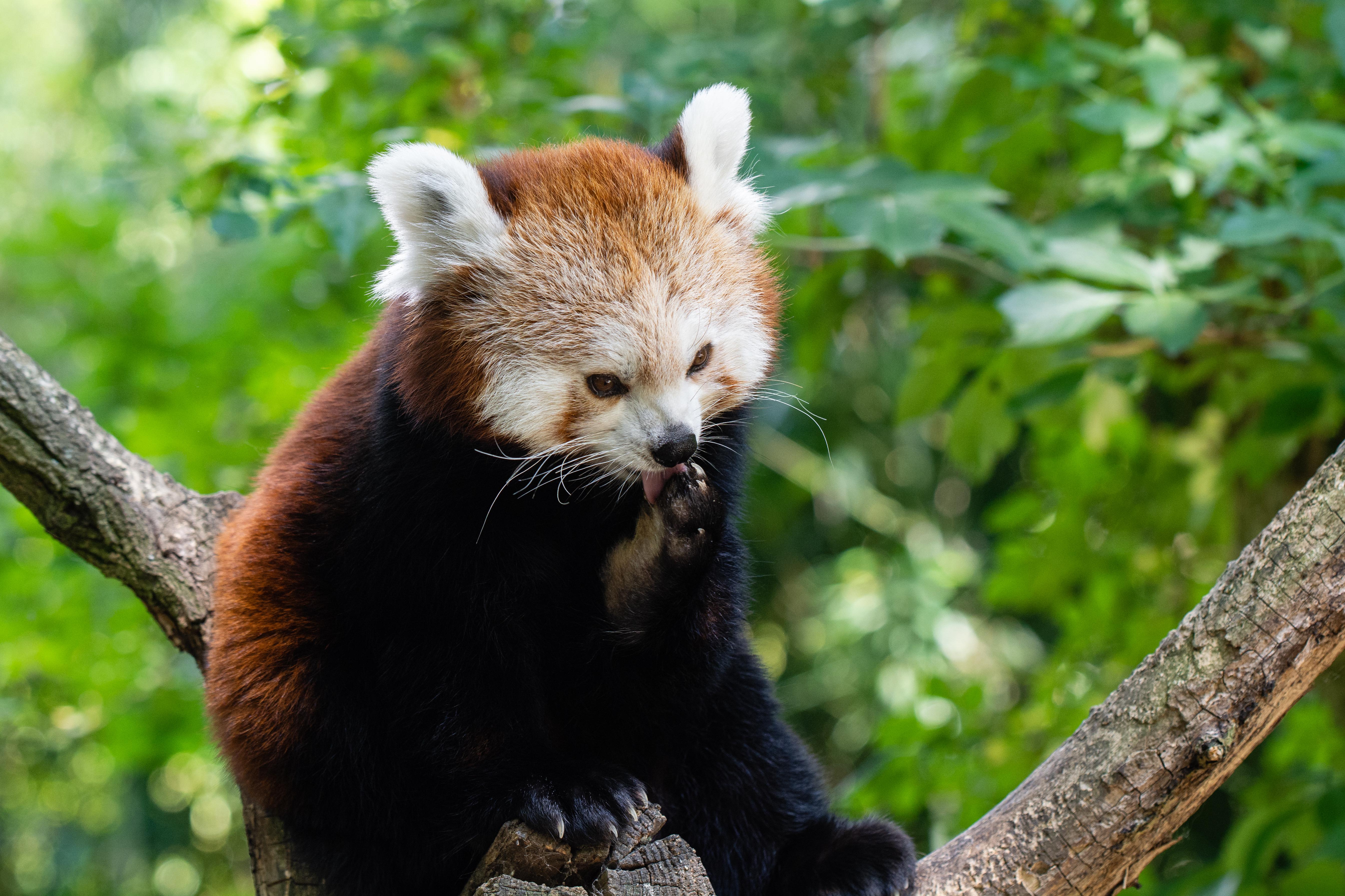 112364 download wallpaper Animals, Fiery Panda, Little Panda, Small Panda, Red Panda, Panda, Lick Your Lips, Licking screensavers and pictures for free