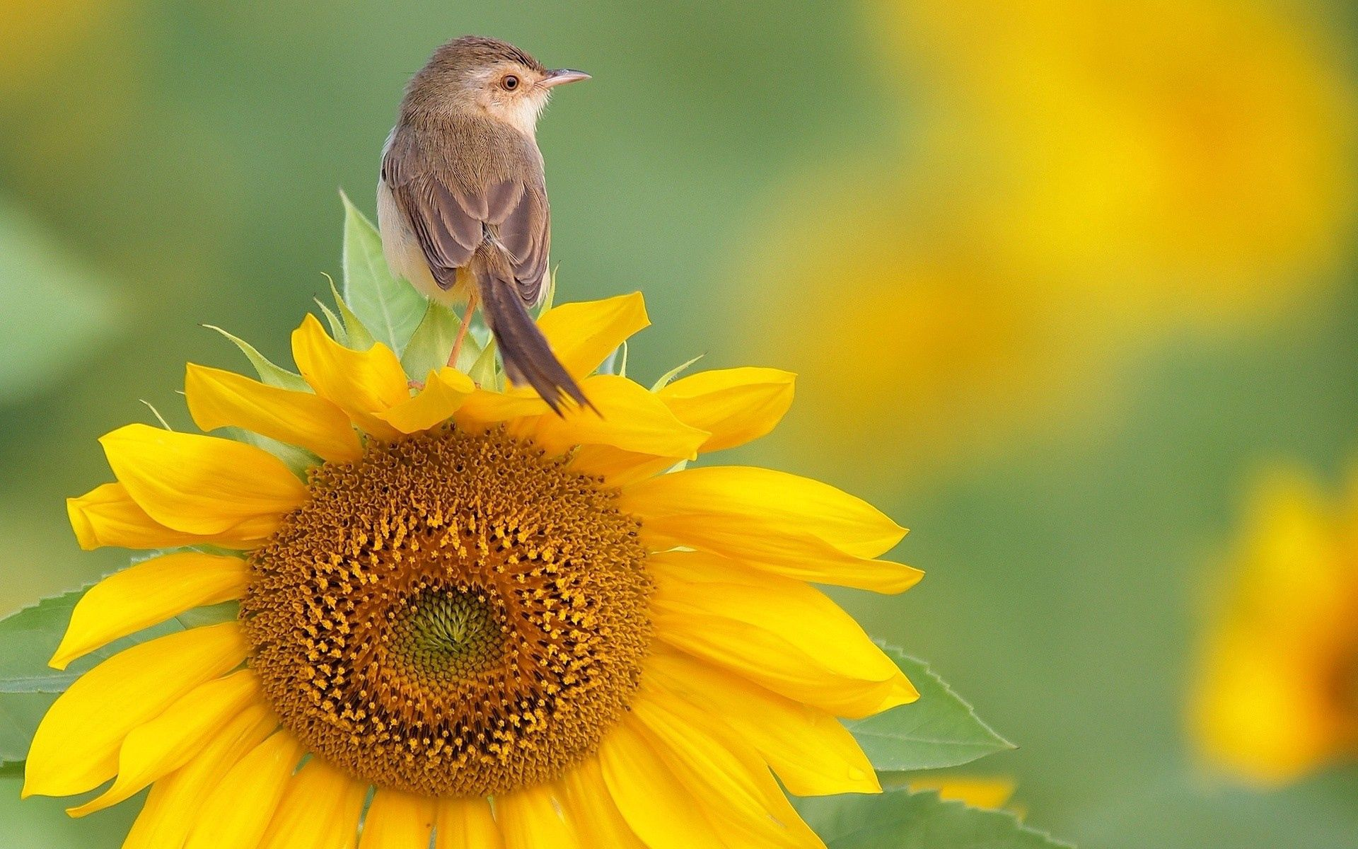 117460 Screensavers and Wallpapers Sit for phone. Download Animals, Bird, Sit, Sunflower pictures for free