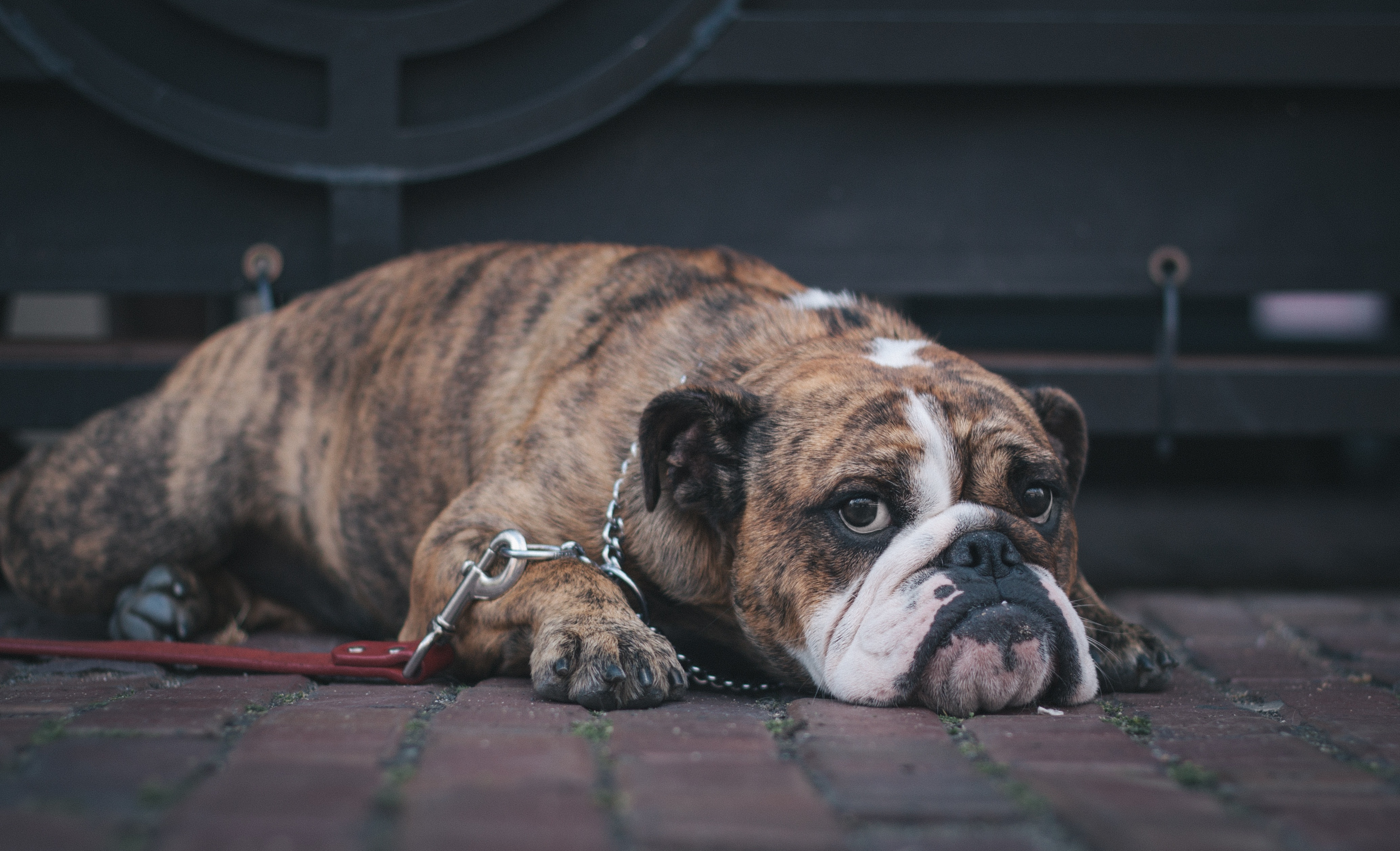 113057 download wallpaper Animals, English Bulldog, Dog, Muzzle, To Lie Down, Lie screensavers and pictures for free