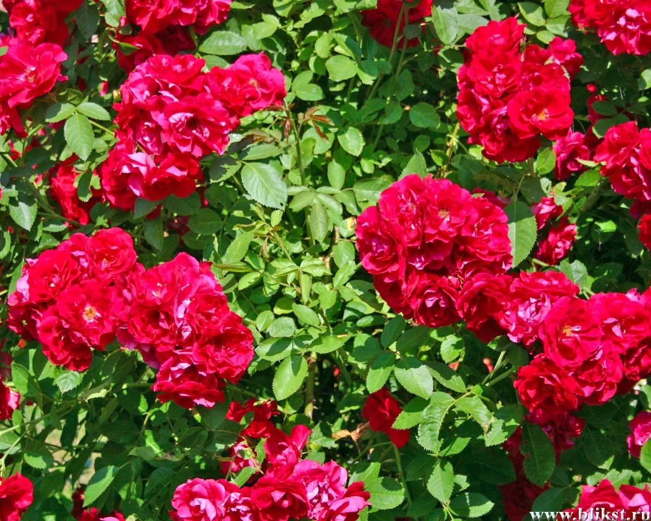 7412 скачать обои Растения, Цветы, Розы - заставки и картинки бесплатно