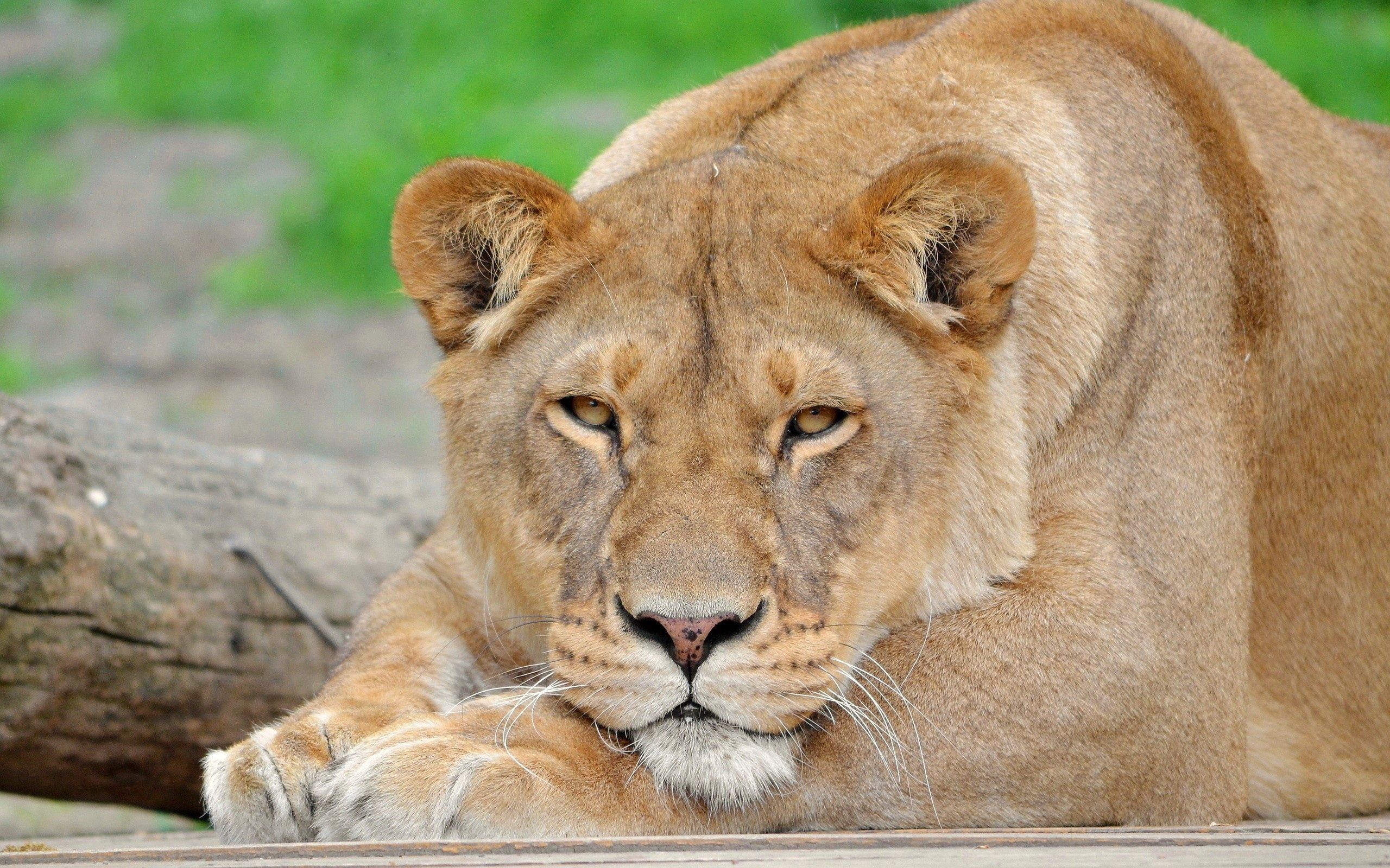 97118 download wallpaper Animals, Lion, Muzzle, Sight, Opinion, Big Cat screensavers and pictures for free