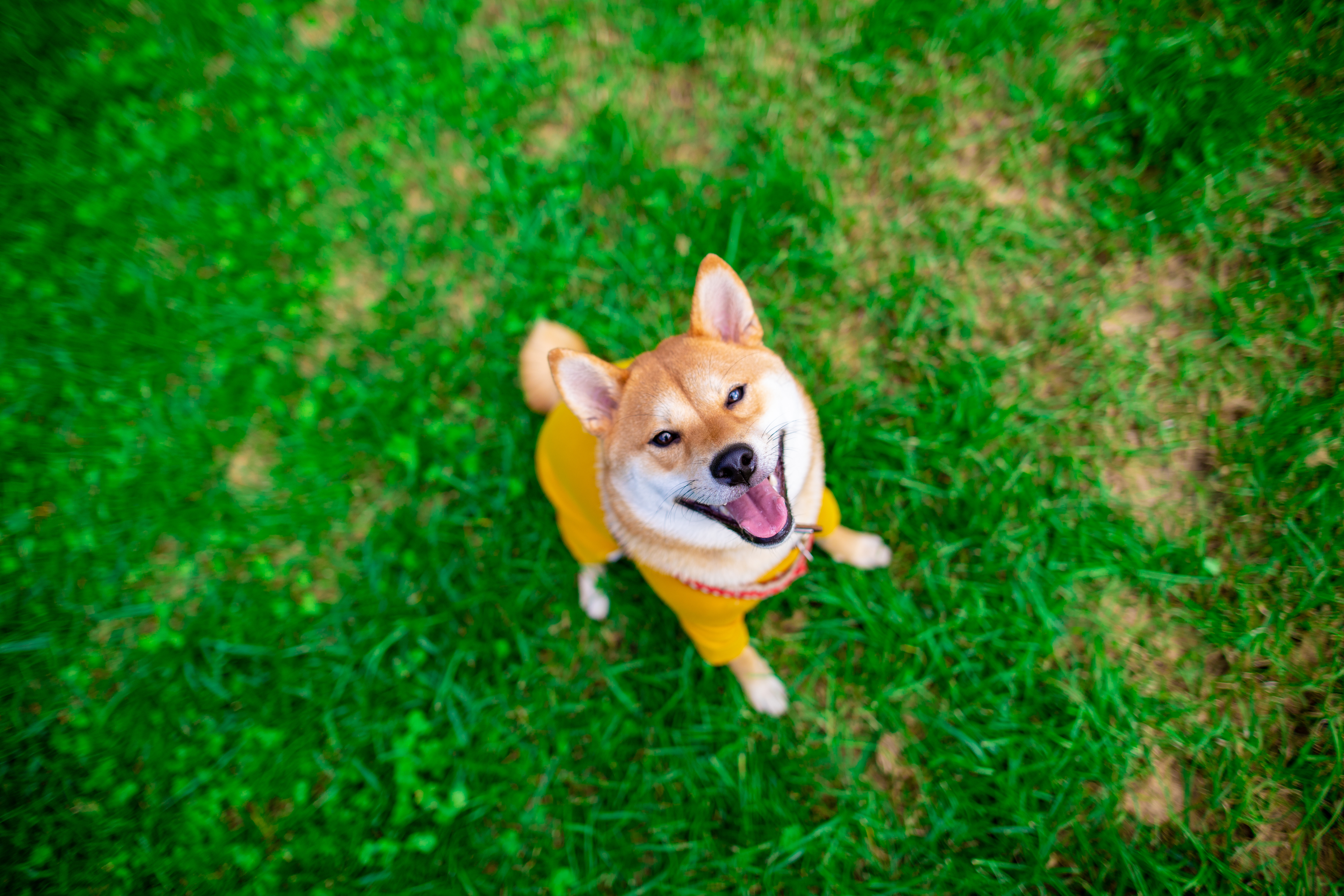 75108 download wallpaper Animals, Akita Inu, Dog, Pet, Sight, Opinion screensavers and pictures for free