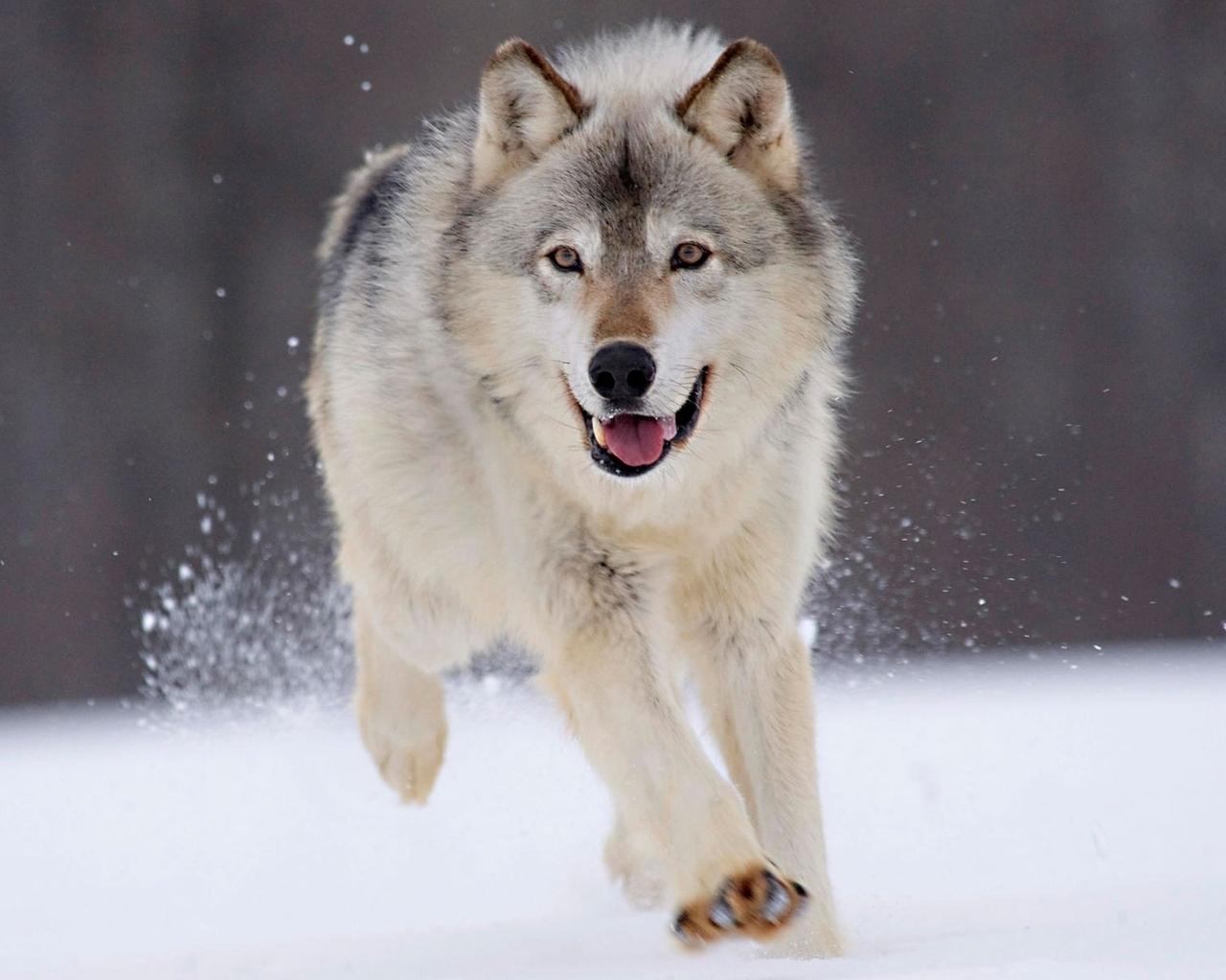 22316 Hintergrundbild herunterladen Wölfe, Tiere - Bildschirmschoner und Bilder kostenlos