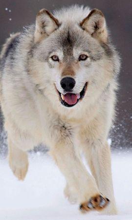 22316 baixar papel de parede Animais, Lobos - protetores de tela e imagens gratuitamente
