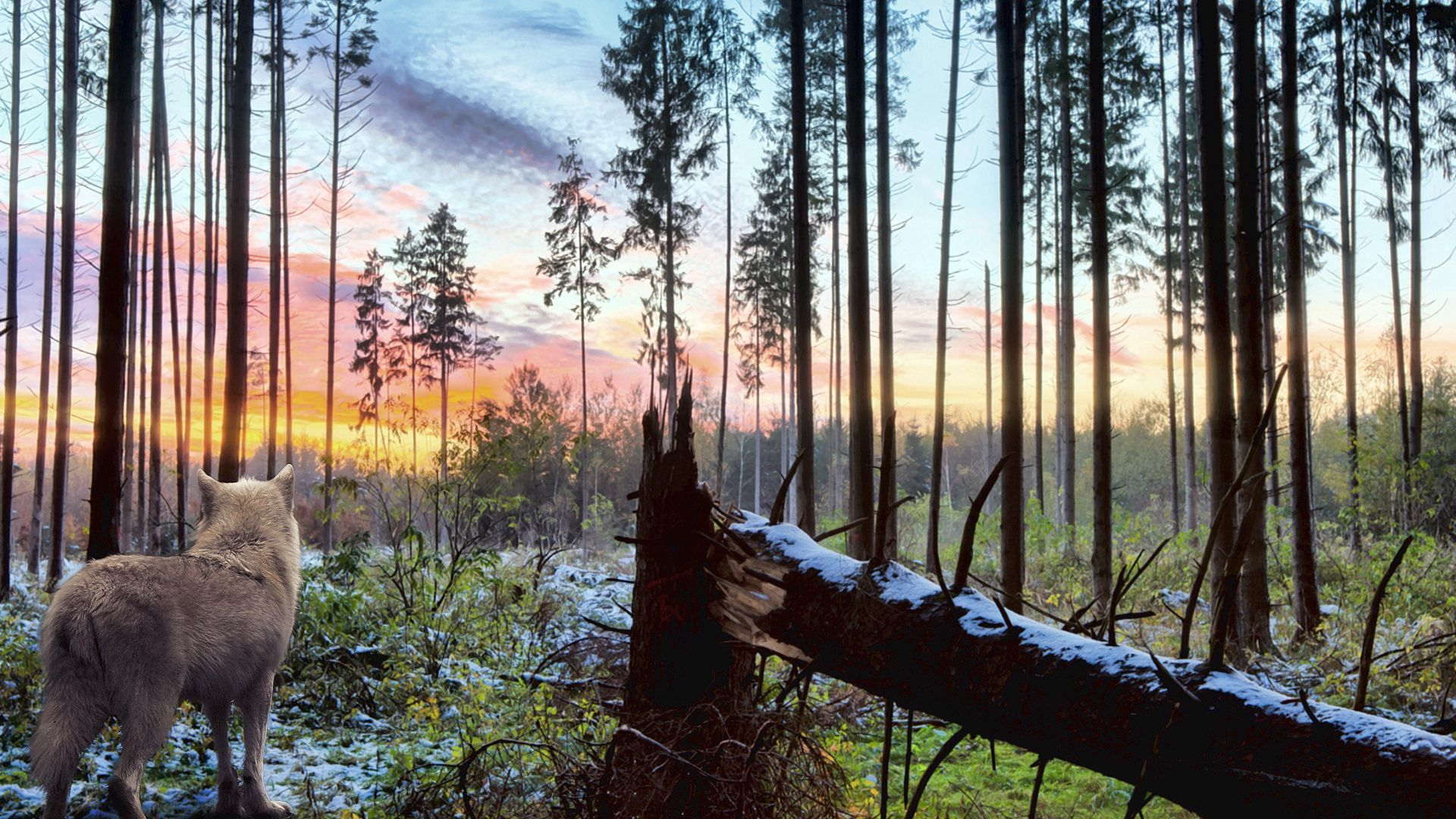 76822 Hintergrundbild herunterladen Tiere, Wald, Wolf, Einsamkeit - Bildschirmschoner und Bilder kostenlos