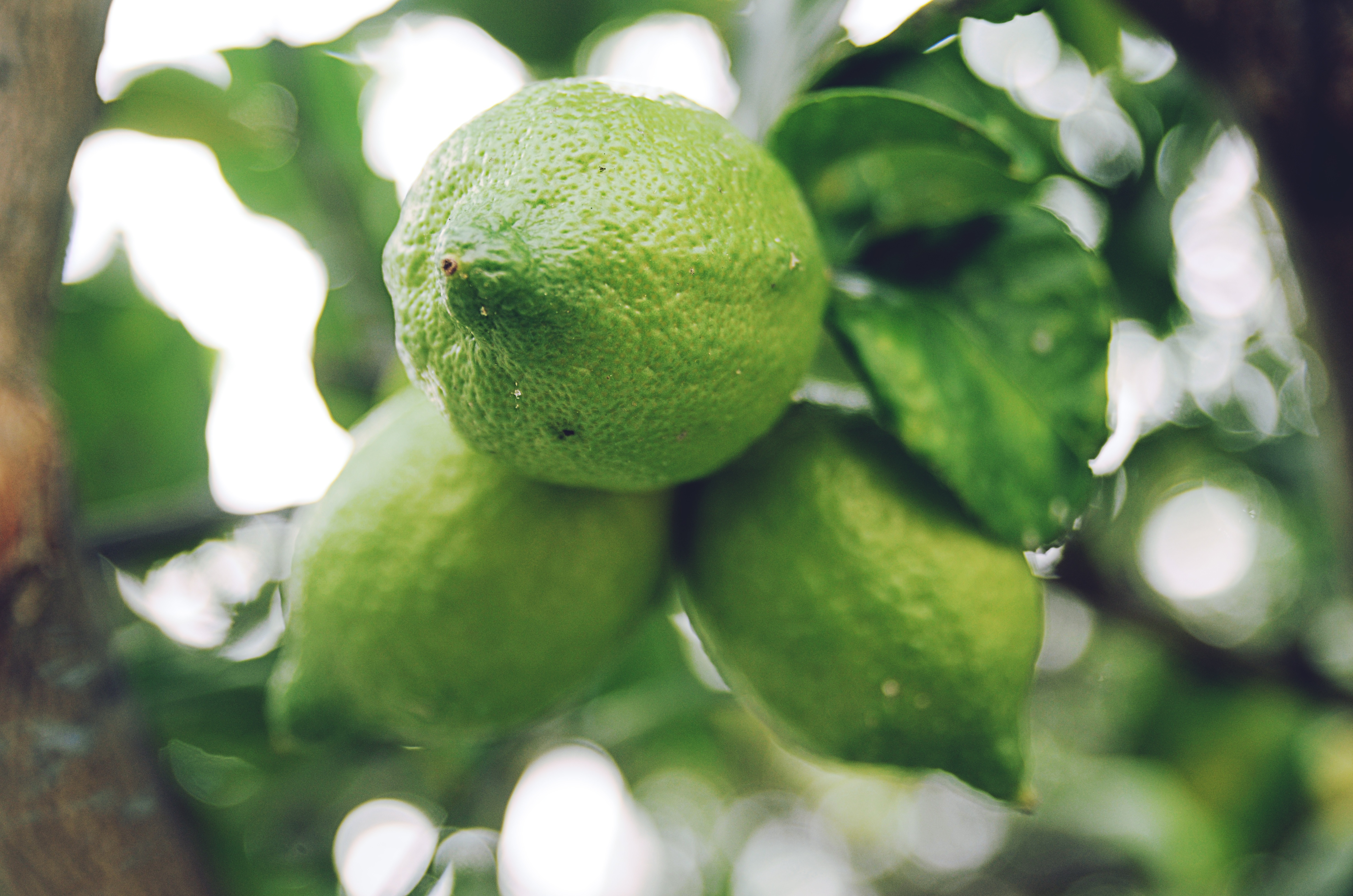 108043 download wallpaper Food, Lime, Branch, Fruit, Citrus screensavers and pictures for free