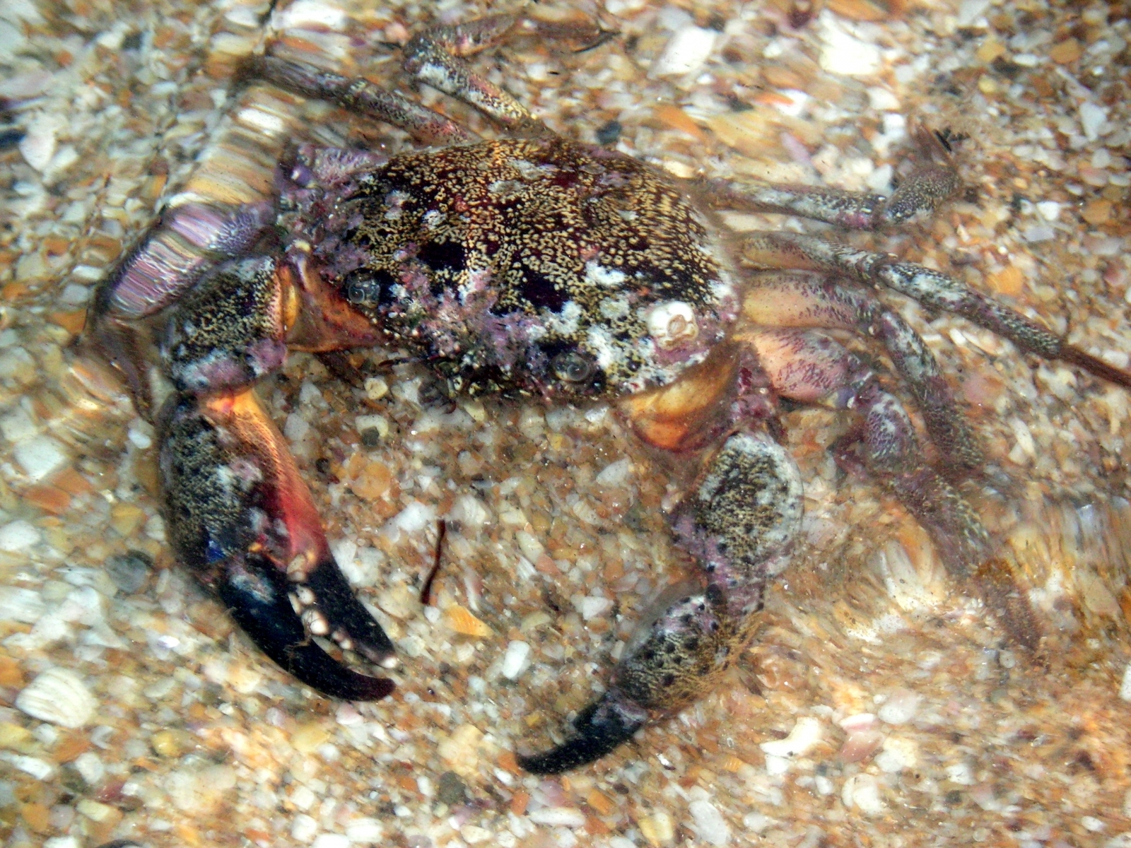 5818 download wallpaper Animals, Crabs screensavers and pictures for free