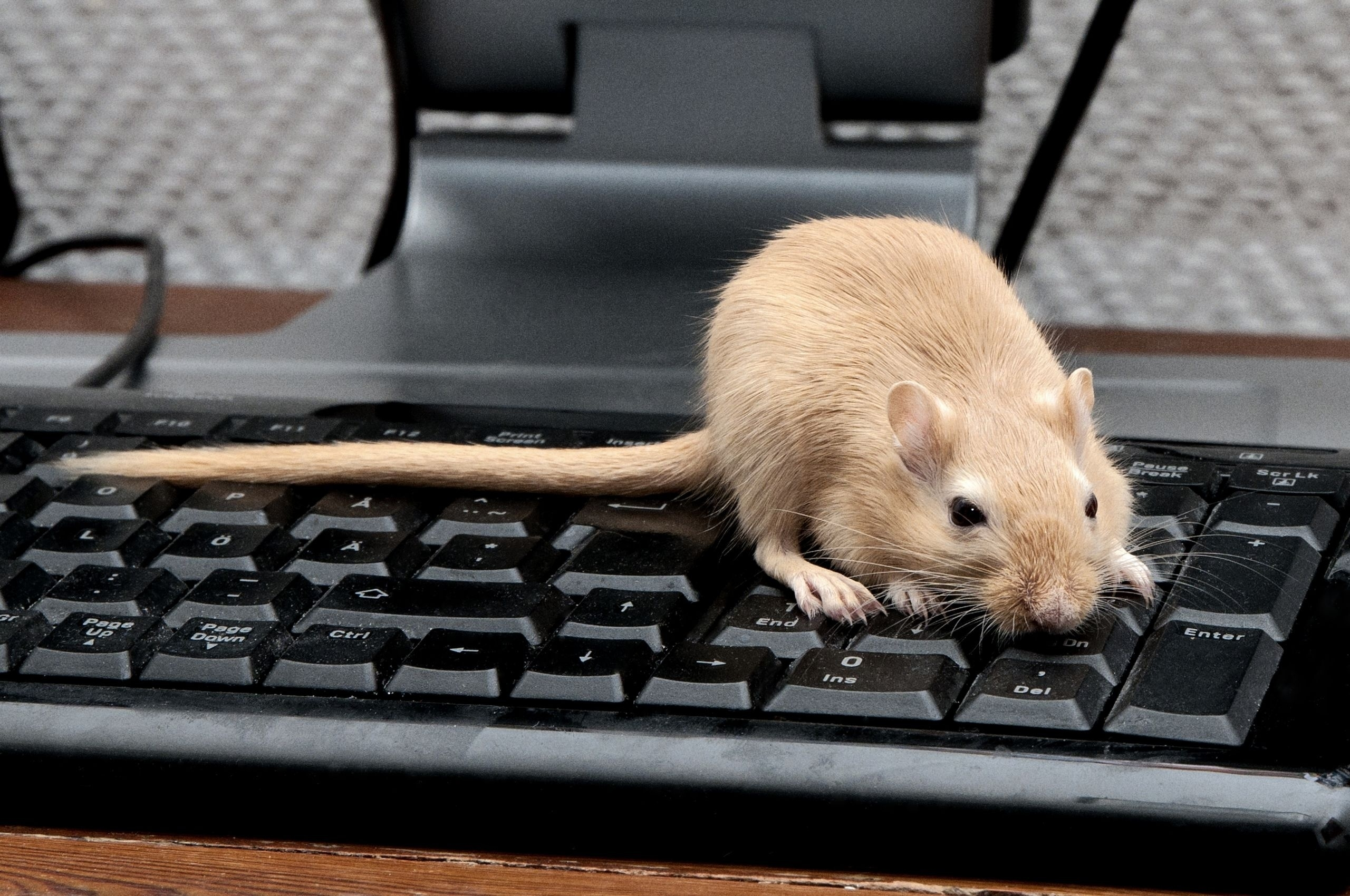 69430 download wallpaper Animals, Mouse, Rat, Keyboard, Climb, Rodent screensavers and pictures for free