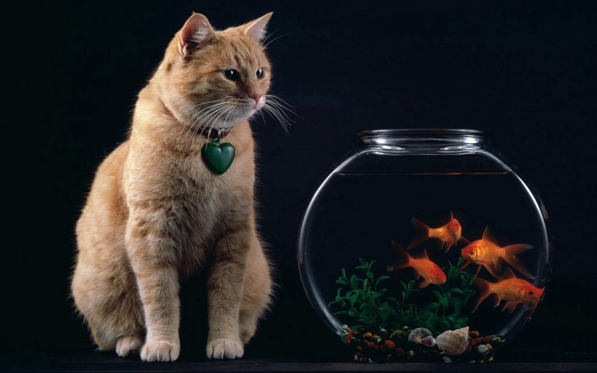 154771 download wallpaper Fishes, Animals, Cat, Suspension, Heart, Aquarium screensavers and pictures for free