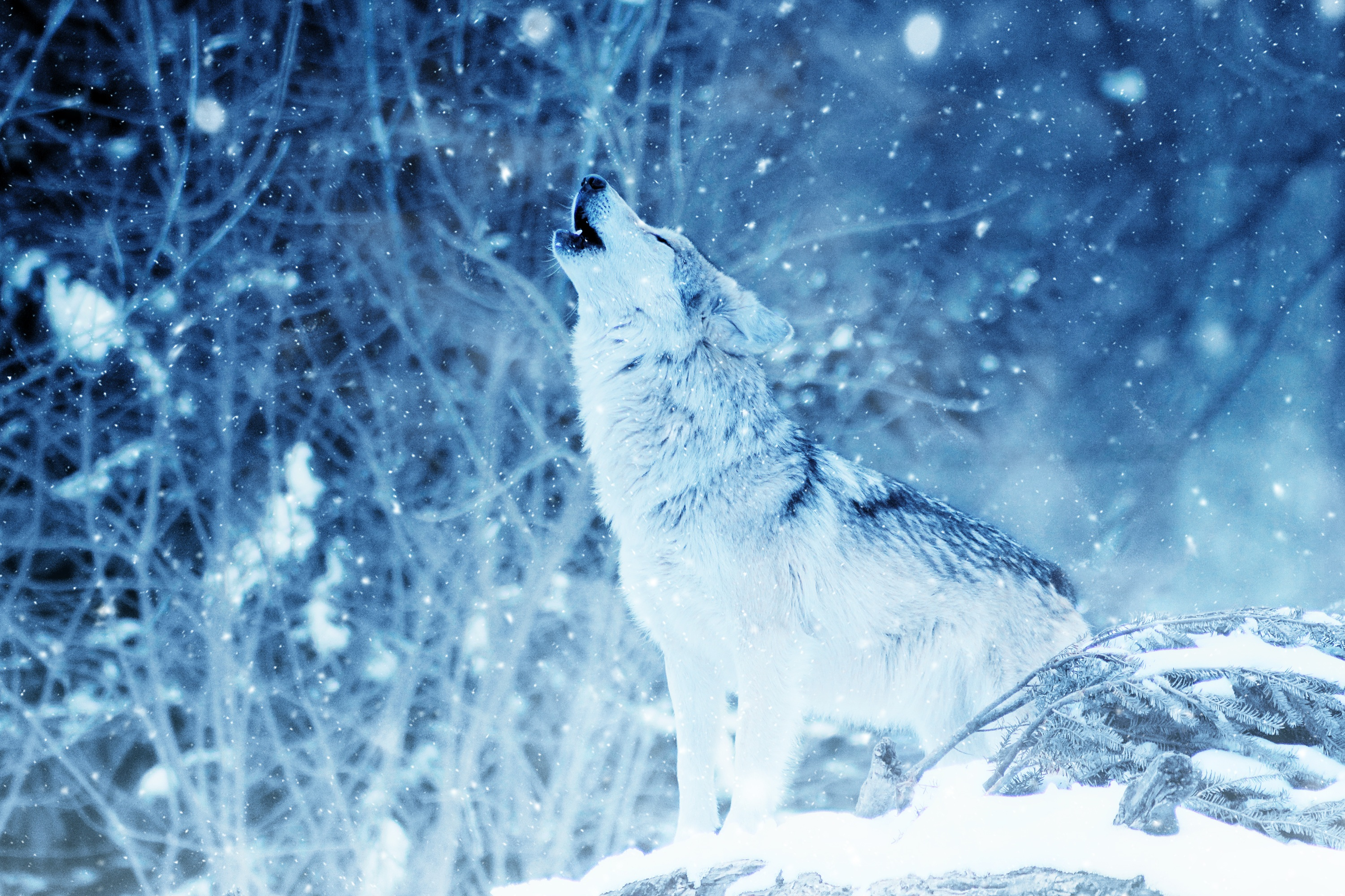 108409 download wallpaper Animals, Predator, Wolf, Photoshop, Howl screensavers and pictures for free