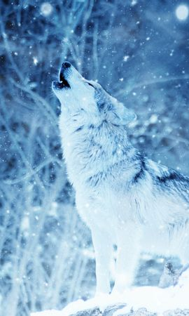 108409 download wallpaper Animals, Wolf, Predator, Howl, Photoshop screensavers and pictures for free