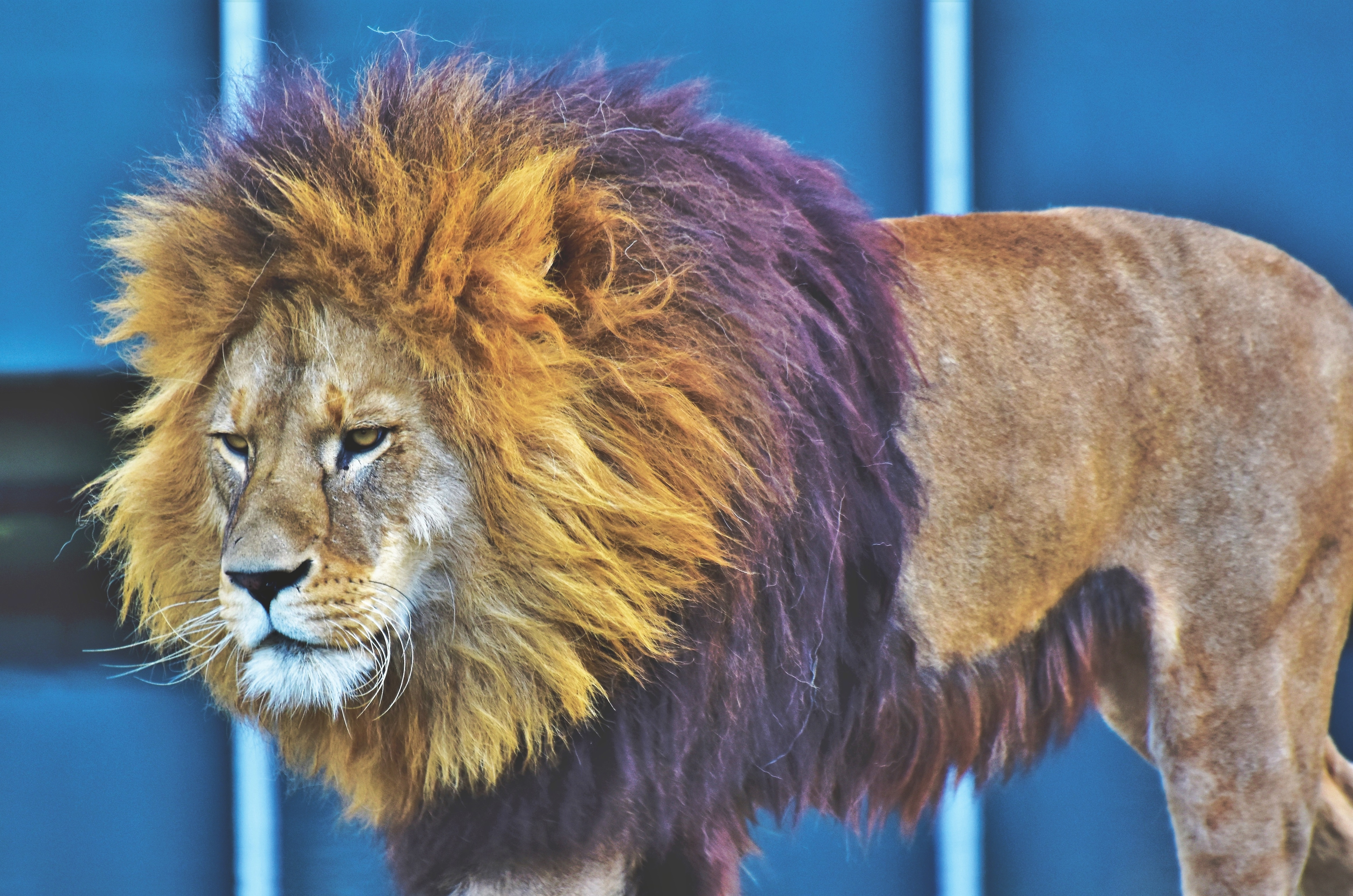 72941 download wallpaper Animals, Lion, Predator, King Of Beasts, King Of The Beasts, Mane, Serious screensavers and pictures for free