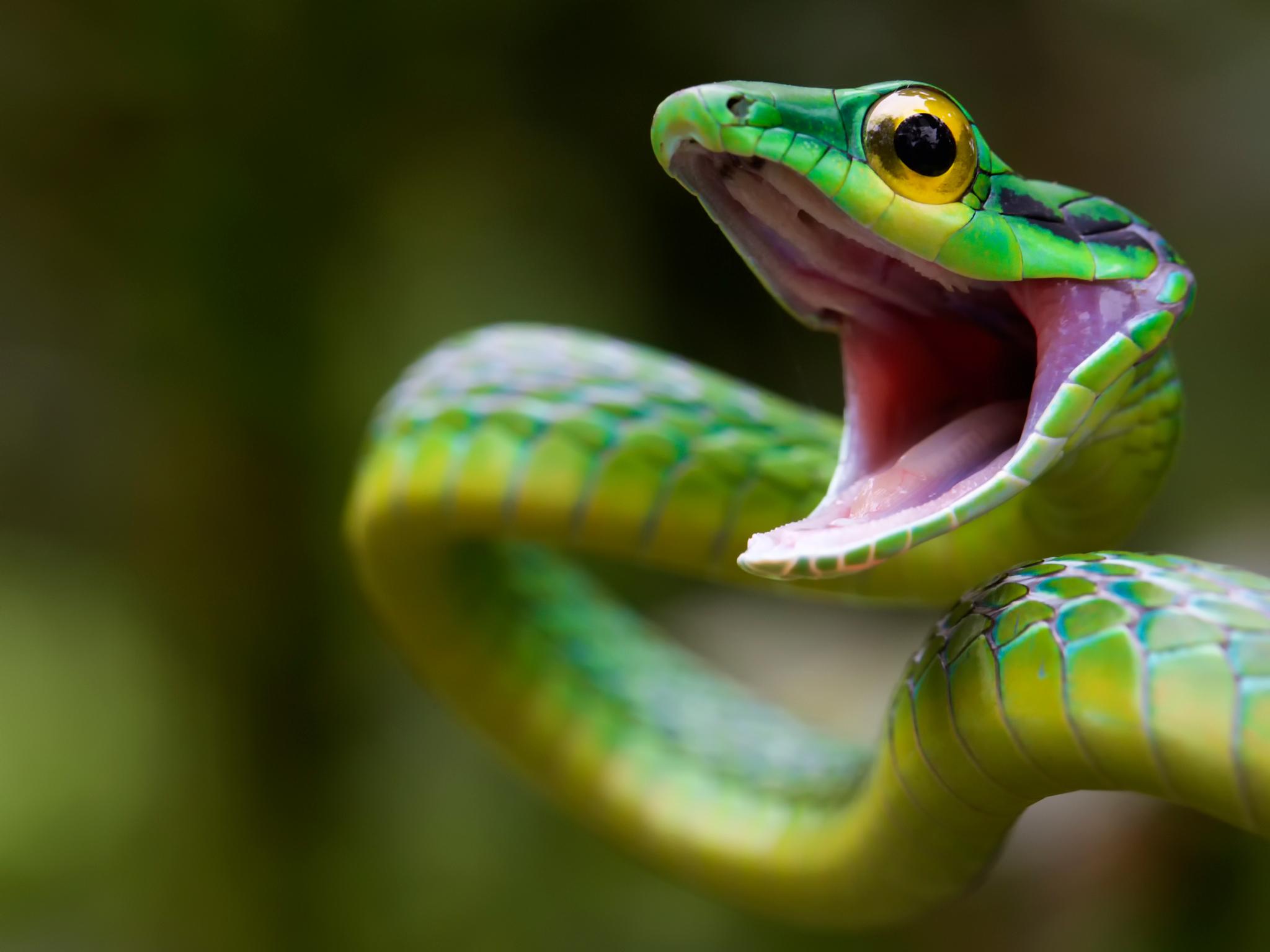 131501 Hintergrundbild herunterladen Tiere, Schlange, Grüne Schlange, Costa Rica - Bildschirmschoner und Bilder kostenlos