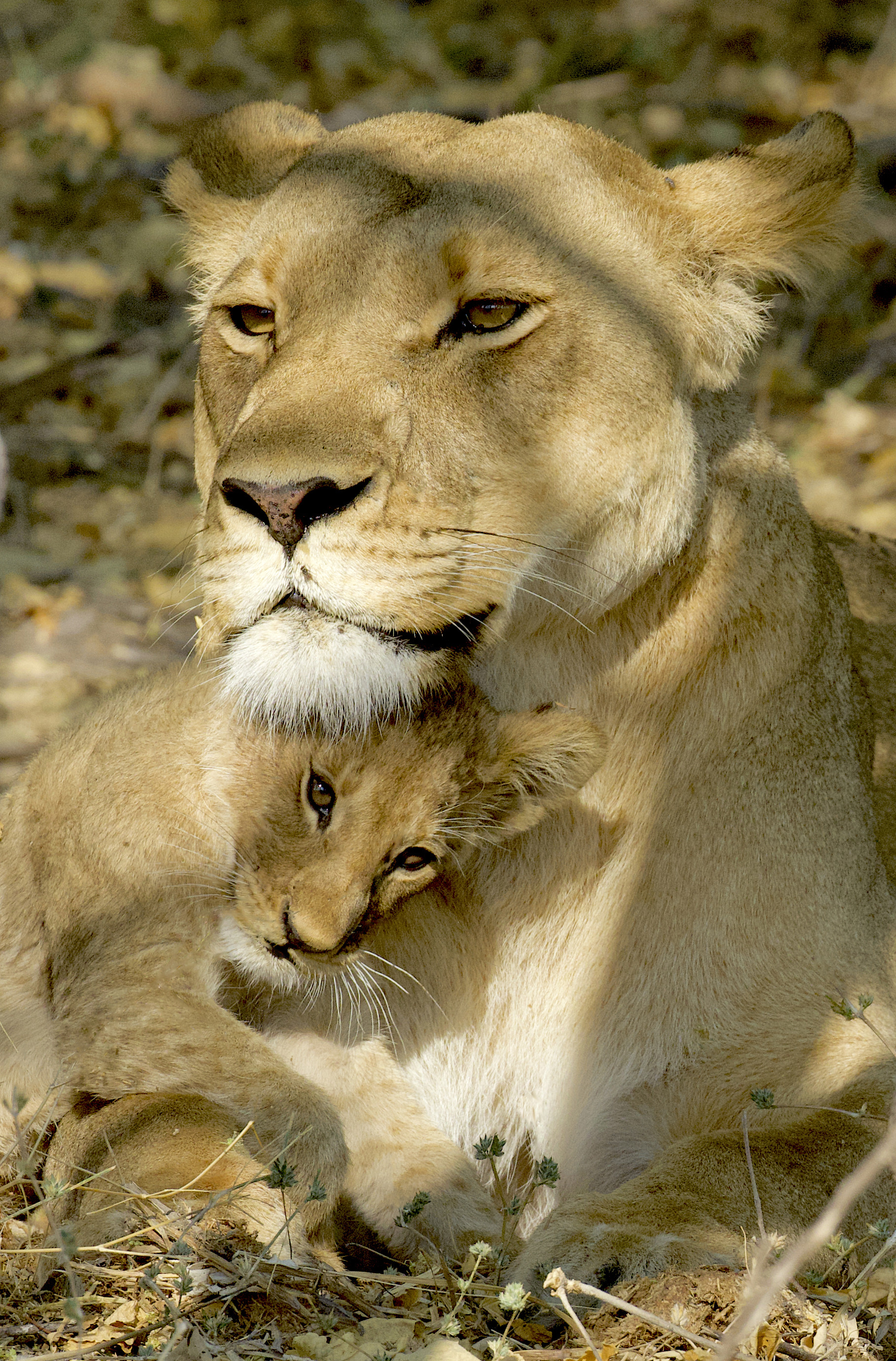 128929 download wallpaper Animals, Lioness, Lion Cub, Lion, Young, Joey, Predator screensavers and pictures for free