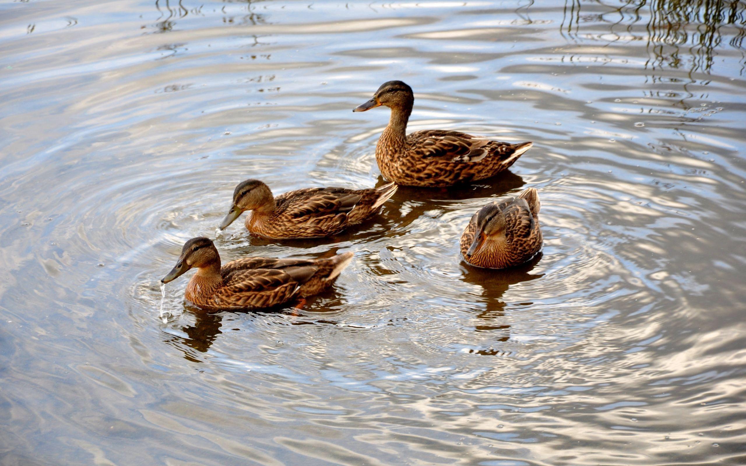 68727 скачать обои Животные, Утки, Озеро, Семья, Плавать - заставки и картинки бесплатно