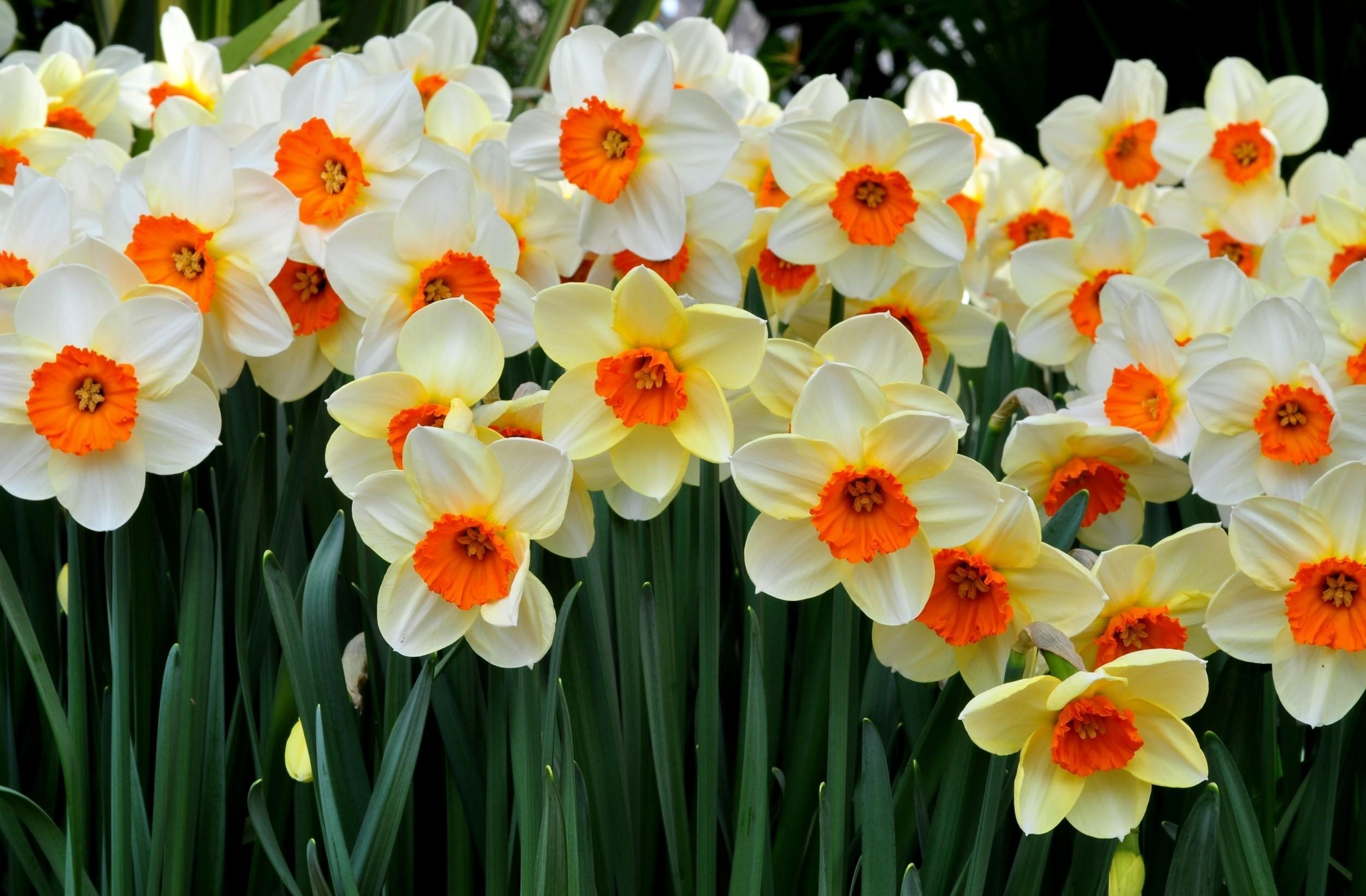 118693 Заставки и Обои Нарциссы на телефон. Скачать Цветы, Нарциссы, Клумба, Весна, Настроение картинки бесплатно