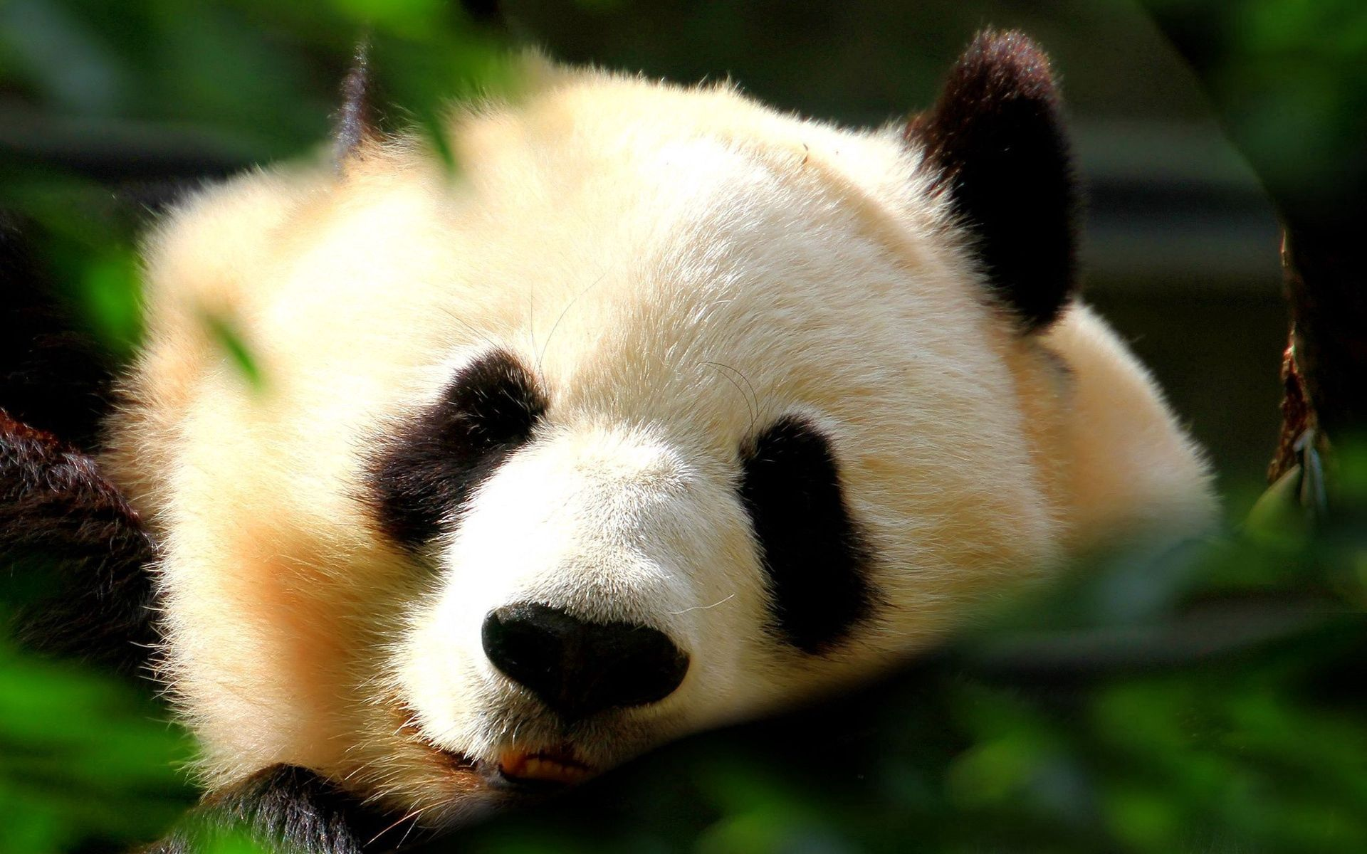 114241 download wallpaper Animals, Panda, Muzzle, Shine, Light, Nice, Sweetheart screensavers and pictures for free