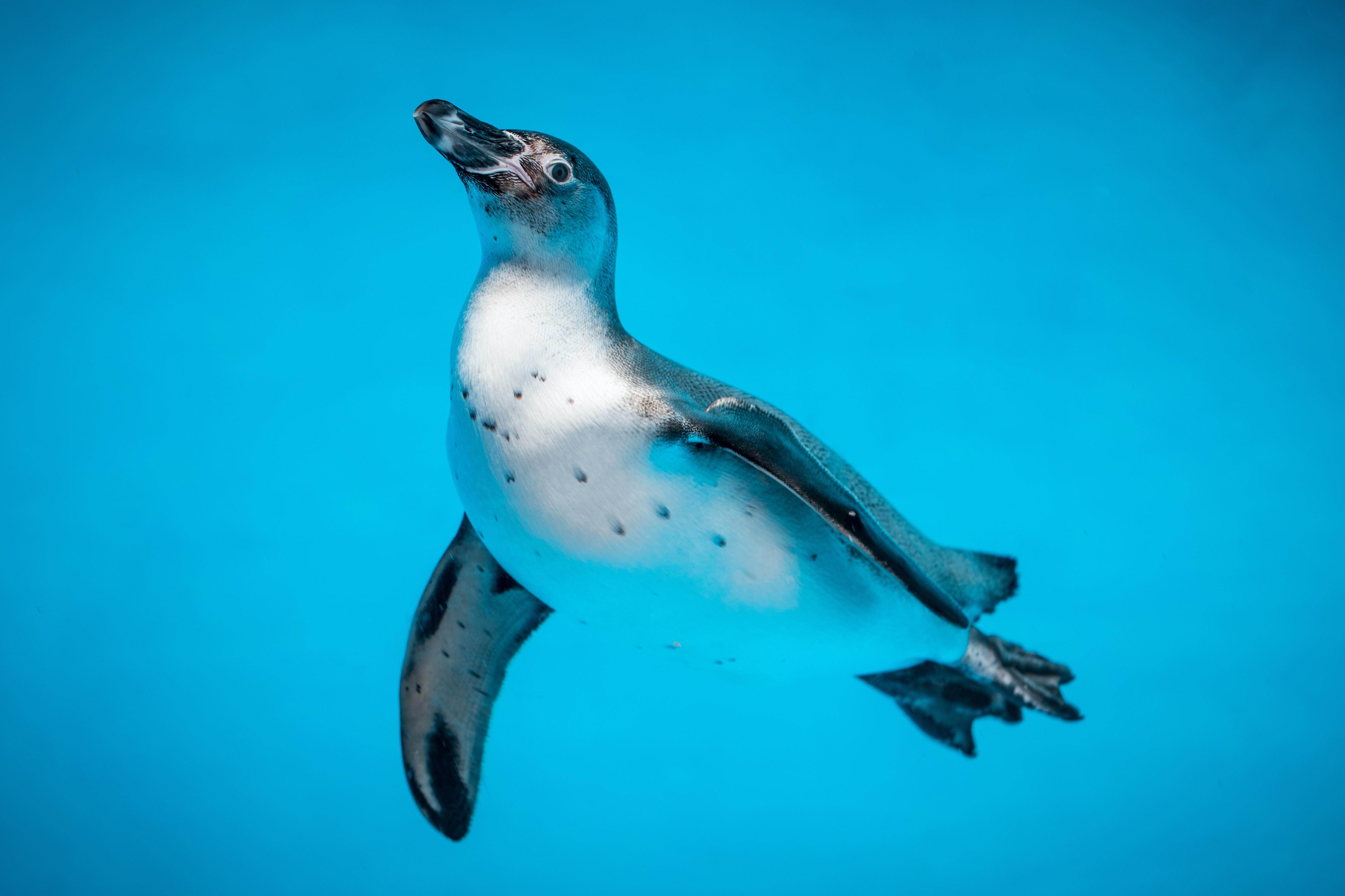 62805 download wallpaper Animals, Penguin, Bird, To Swim, Swim, Water, Underwater World screensavers and pictures for free