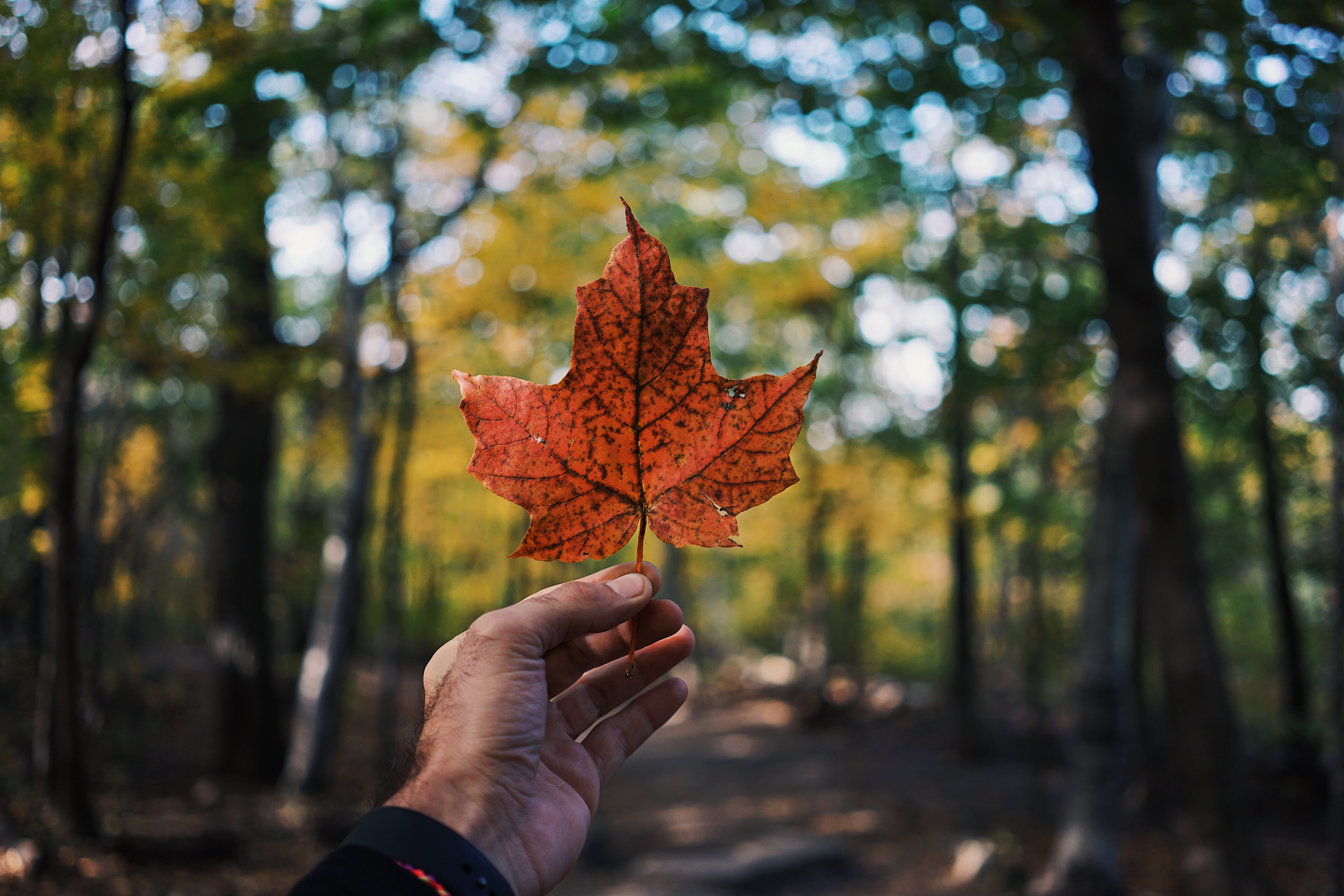 141749 download wallpaper Nature, Sheet, Leaf, Maple, Hand, Autumn screensavers and pictures for free