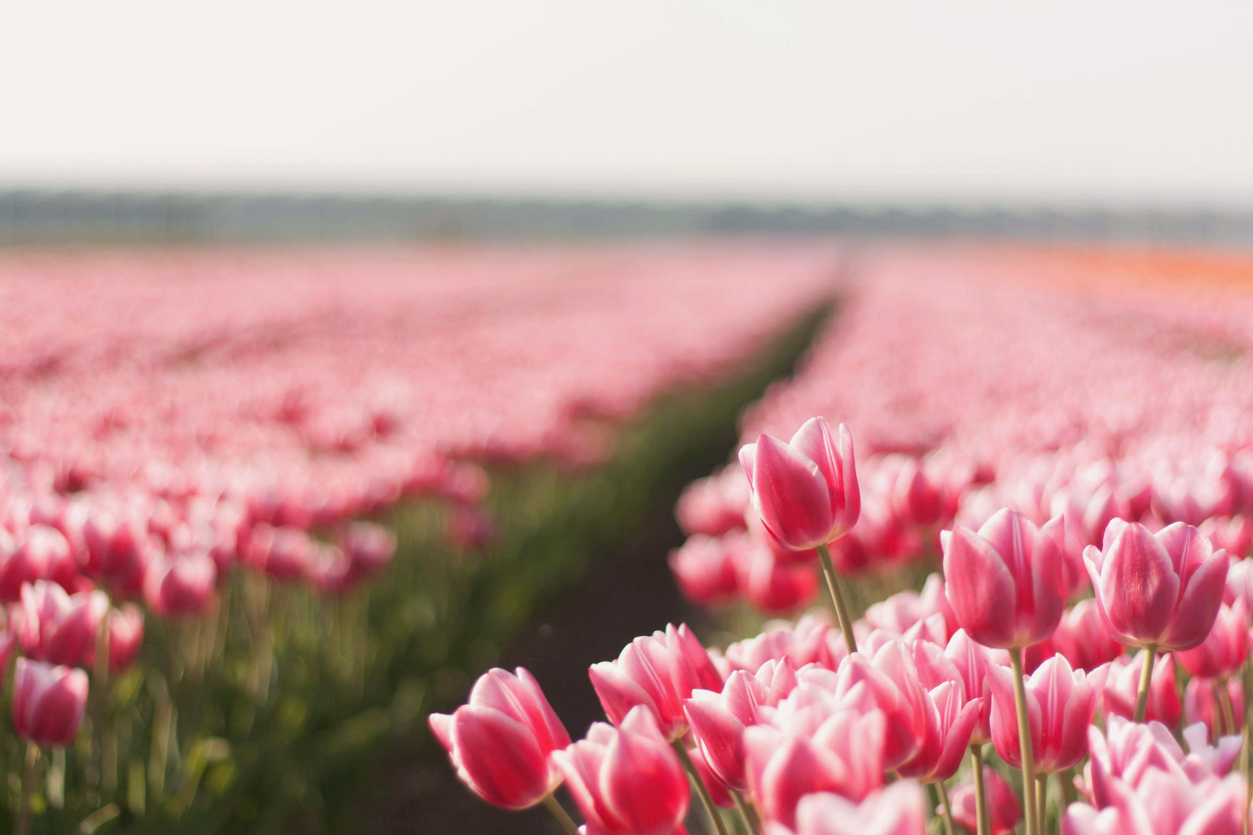12436 скачать обои Растения, Пейзаж, Цветы, Тюльпаны - заставки и картинки бесплатно