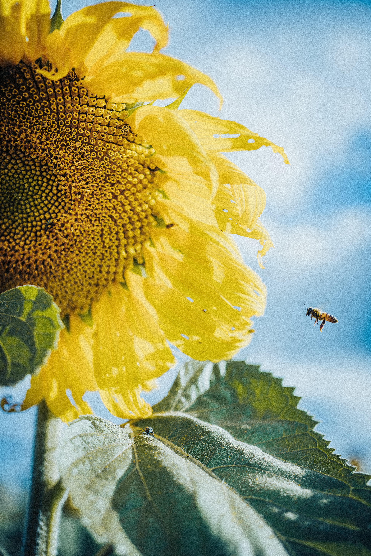 58205 Hintergrundbild herunterladen Blumen, Bienen, Blume, Makro, Blütenblätter, Sonnenblume - Bildschirmschoner und Bilder kostenlos