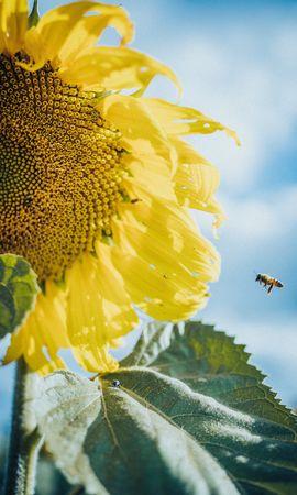 58205 télécharger le fond d'écran Fleurs, Tournesol, Fleur, Pétales, Macro, Abeilles - économiseurs d'écran et images gratuitement