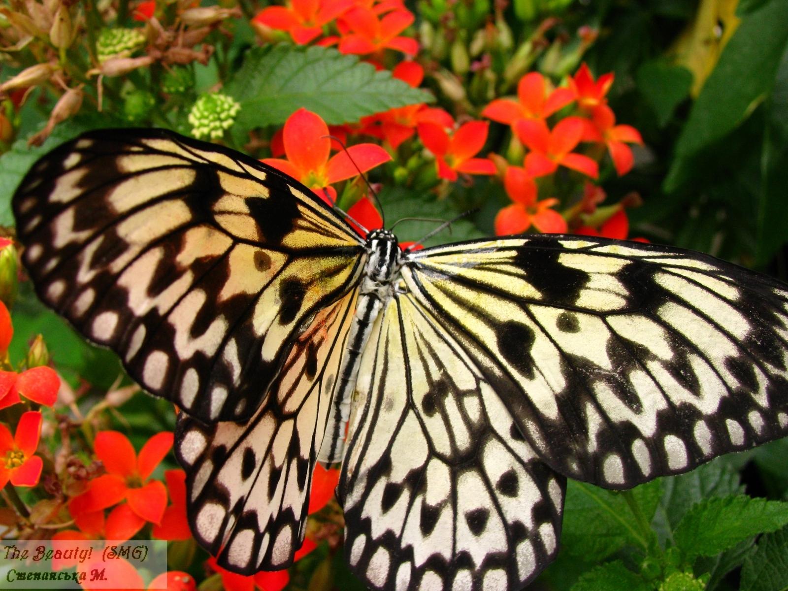 1552 скачать обои Бабочки, Насекомые - заставки и картинки бесплатно