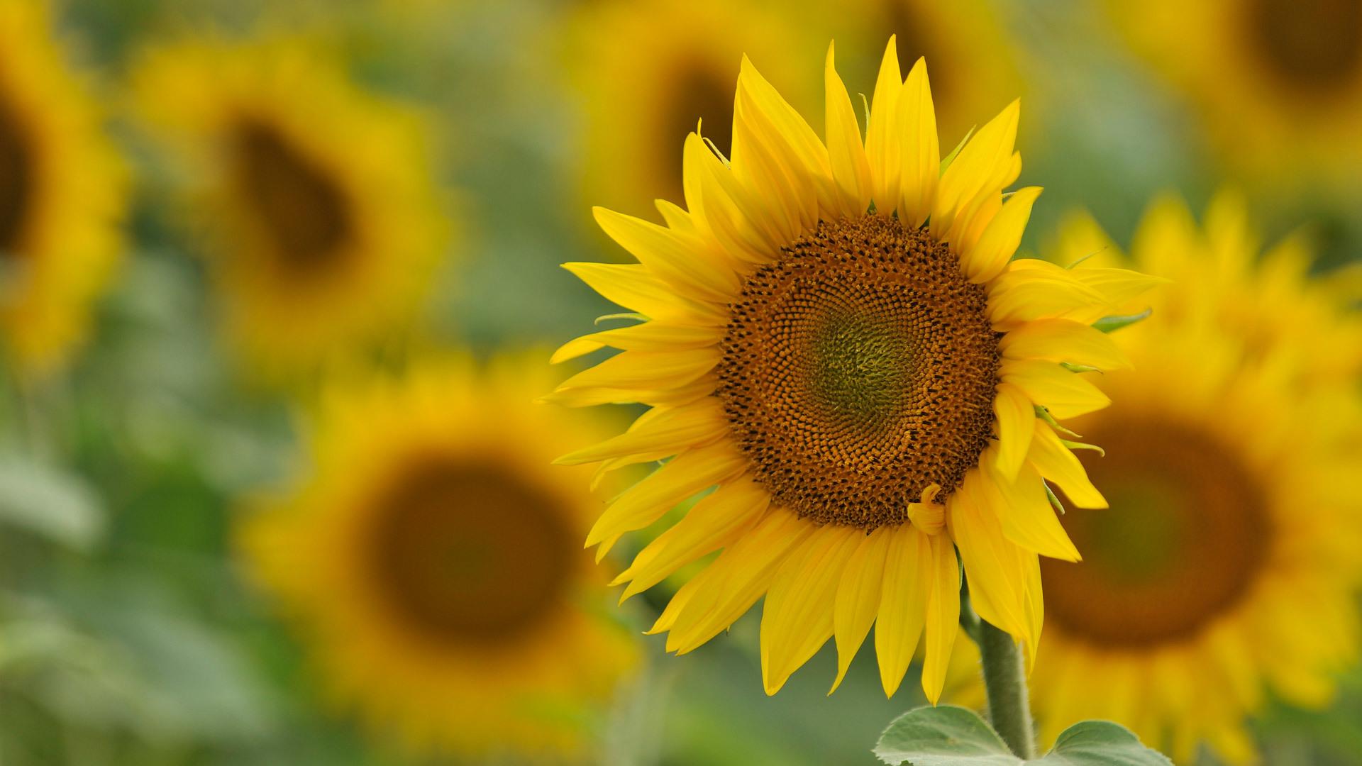 40817 скачать обои Растения, Цветы, Подсолнухи - заставки и картинки бесплатно