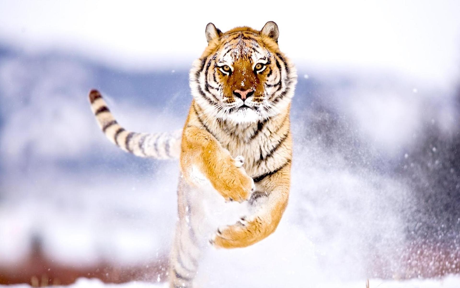 47227 descargar fondo de pantalla Animales, Tigres: protectores de pantalla e imágenes gratis