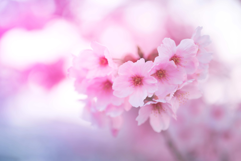 107752 Screensavers and Wallpapers Sakura for phone. Download Flowers, Pink, Sakura, Macro, Close-Up pictures for free